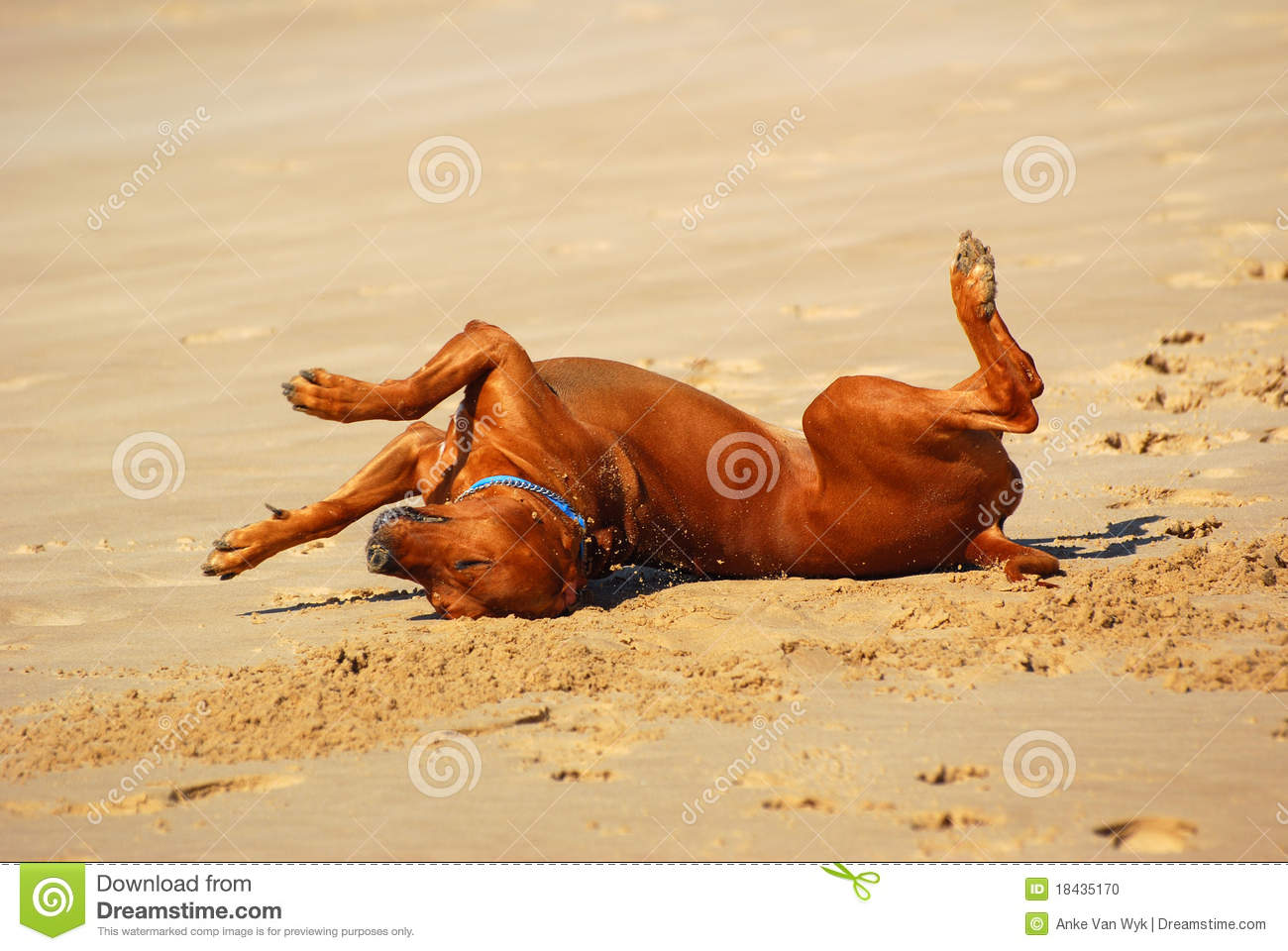 single happy Rhodesian Ridgeback hound dog rolling over from side to ...