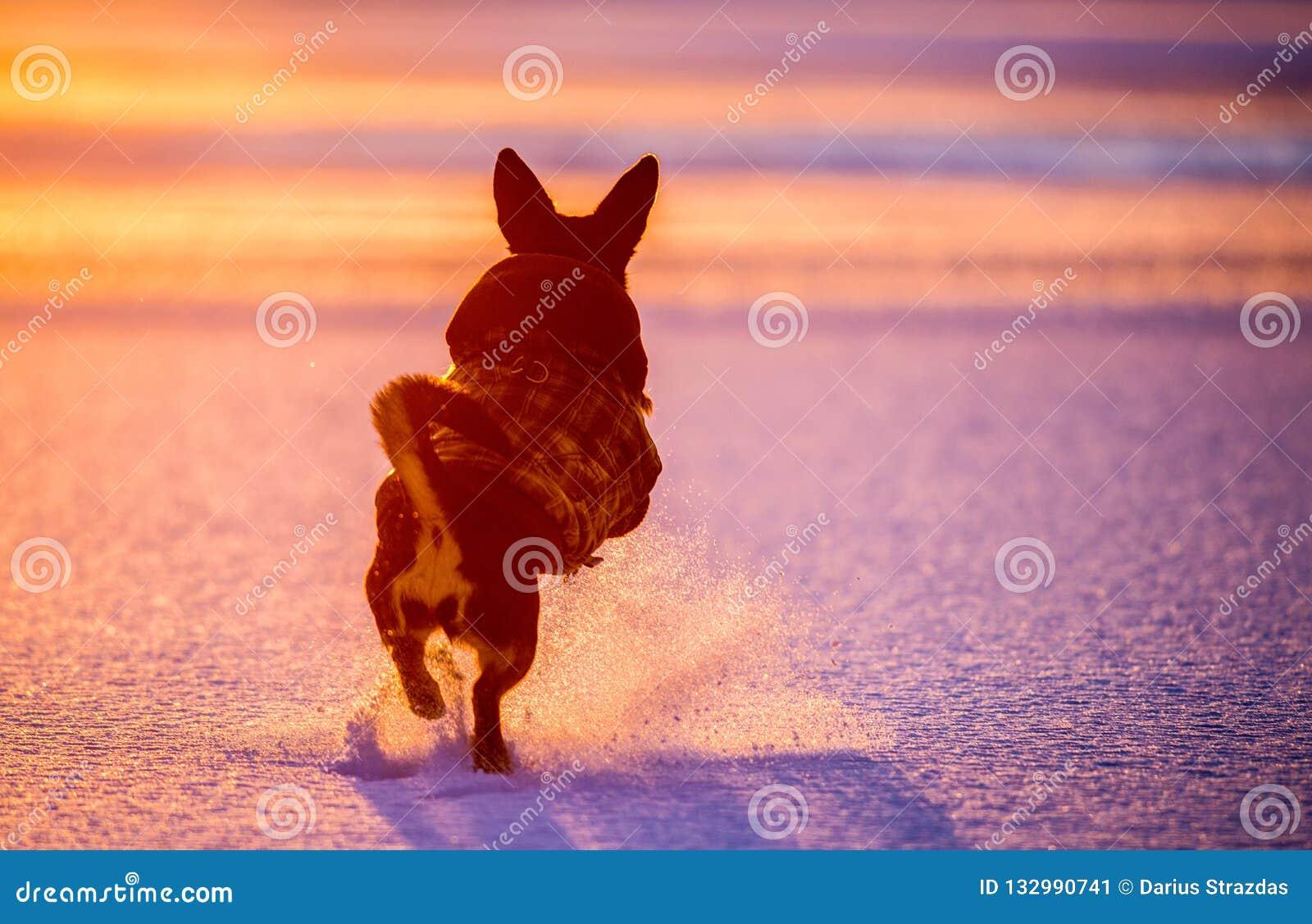 Dog run and jump in winter sunset