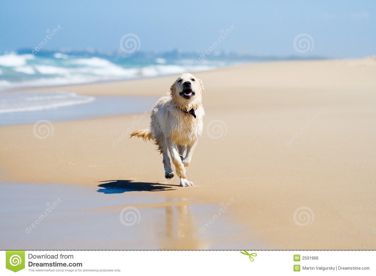 Download Dog running on a beach stock photo. Image of retriever - 2591966