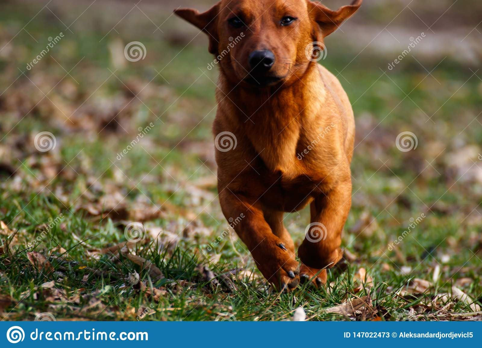 Dog running in the field of grass, dog caught in action