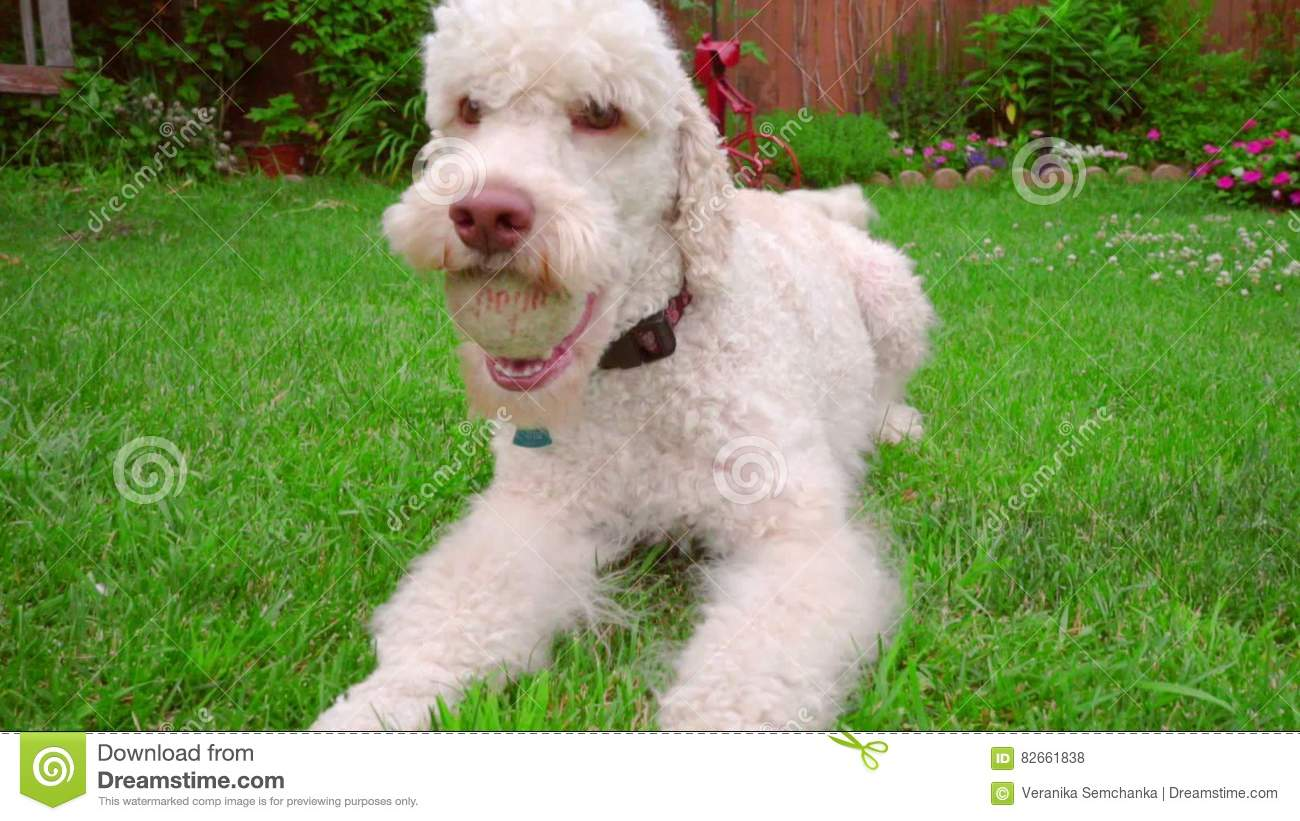dog running grass labradoodle with ball on backyard pet playing