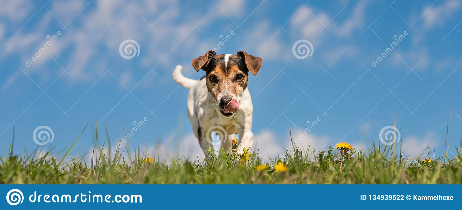 Jack Russell Terrier dog in blooming spring meadow in front of blue sky