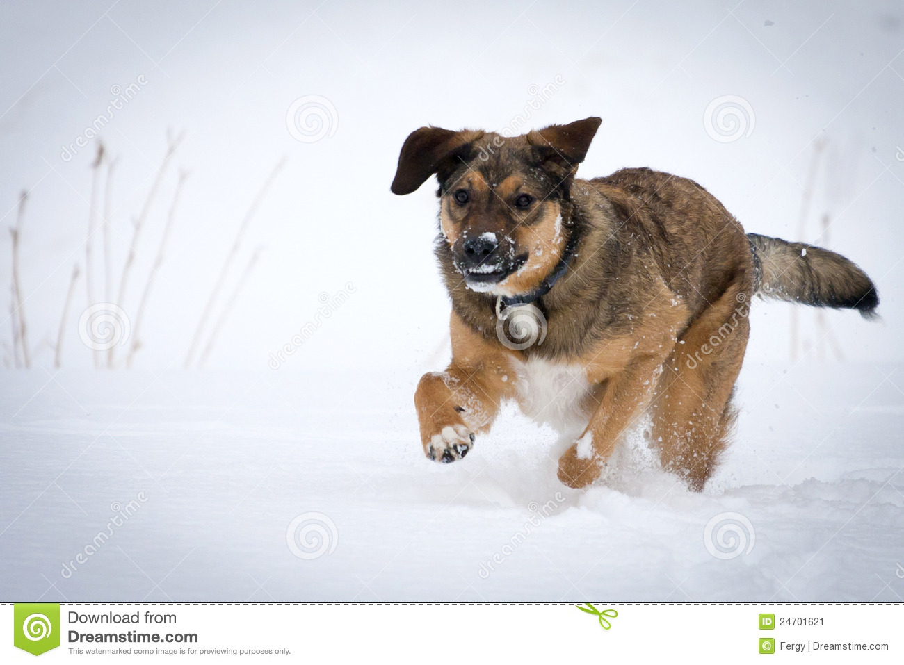 Dog Running In Snow Stock Image Image 24701621