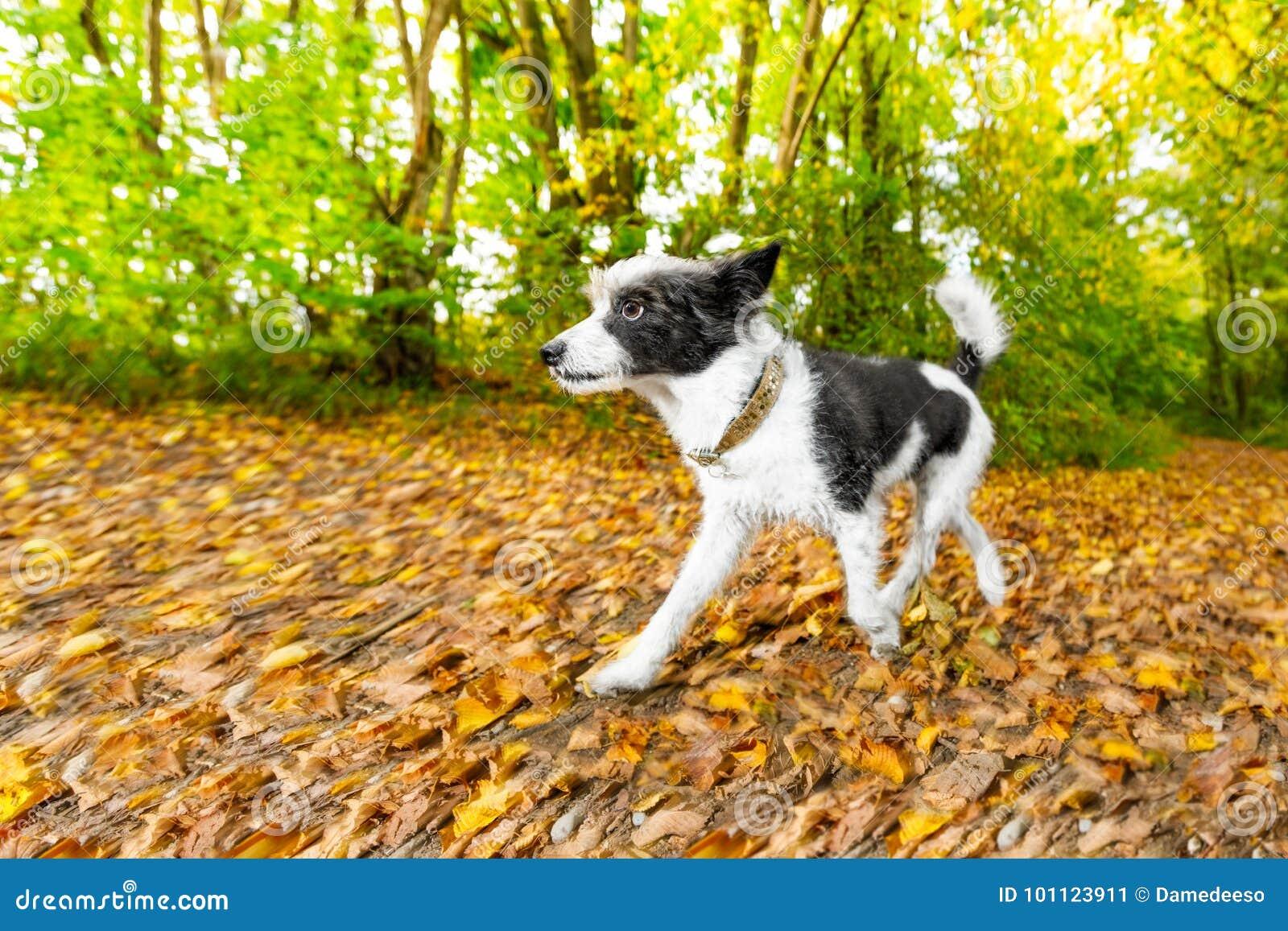 Dog running or walking in autumn