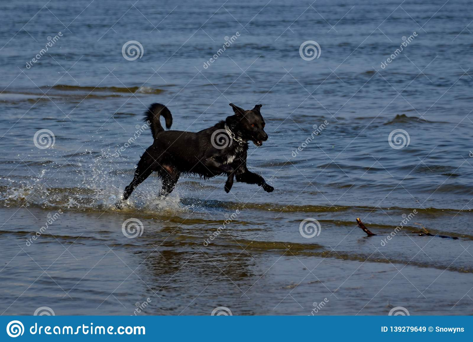 Dog running to fetch stick at the beach