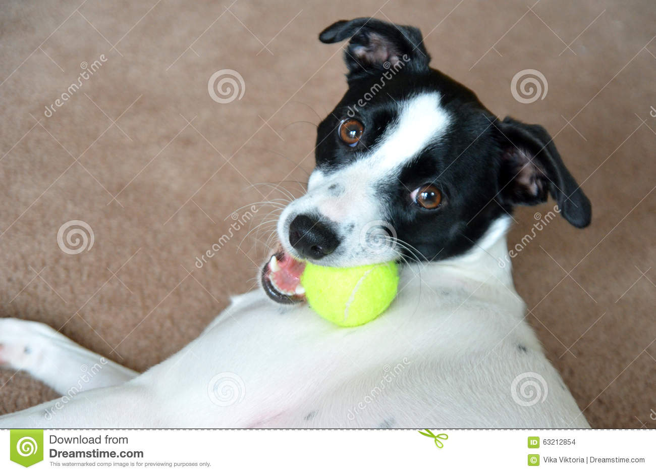 Dog. Russell terrier with tennis ball