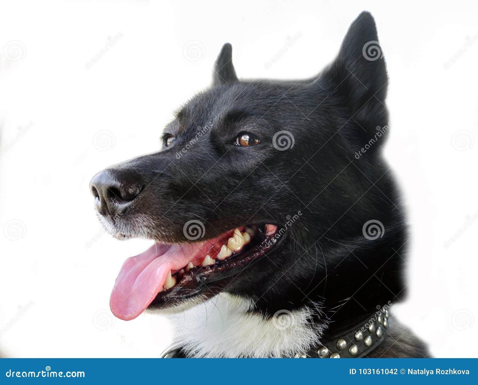 The dog`s laika look.