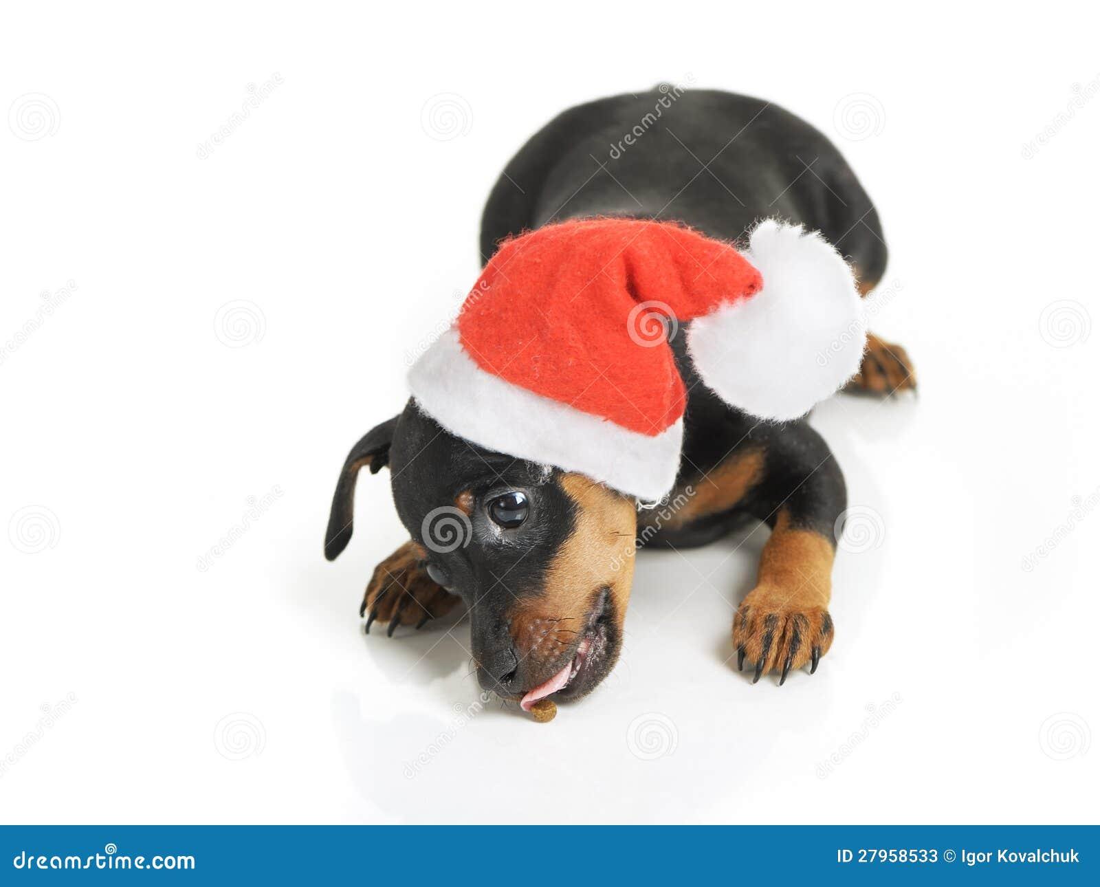 Dog in santa hat stock image of miniature pedigree