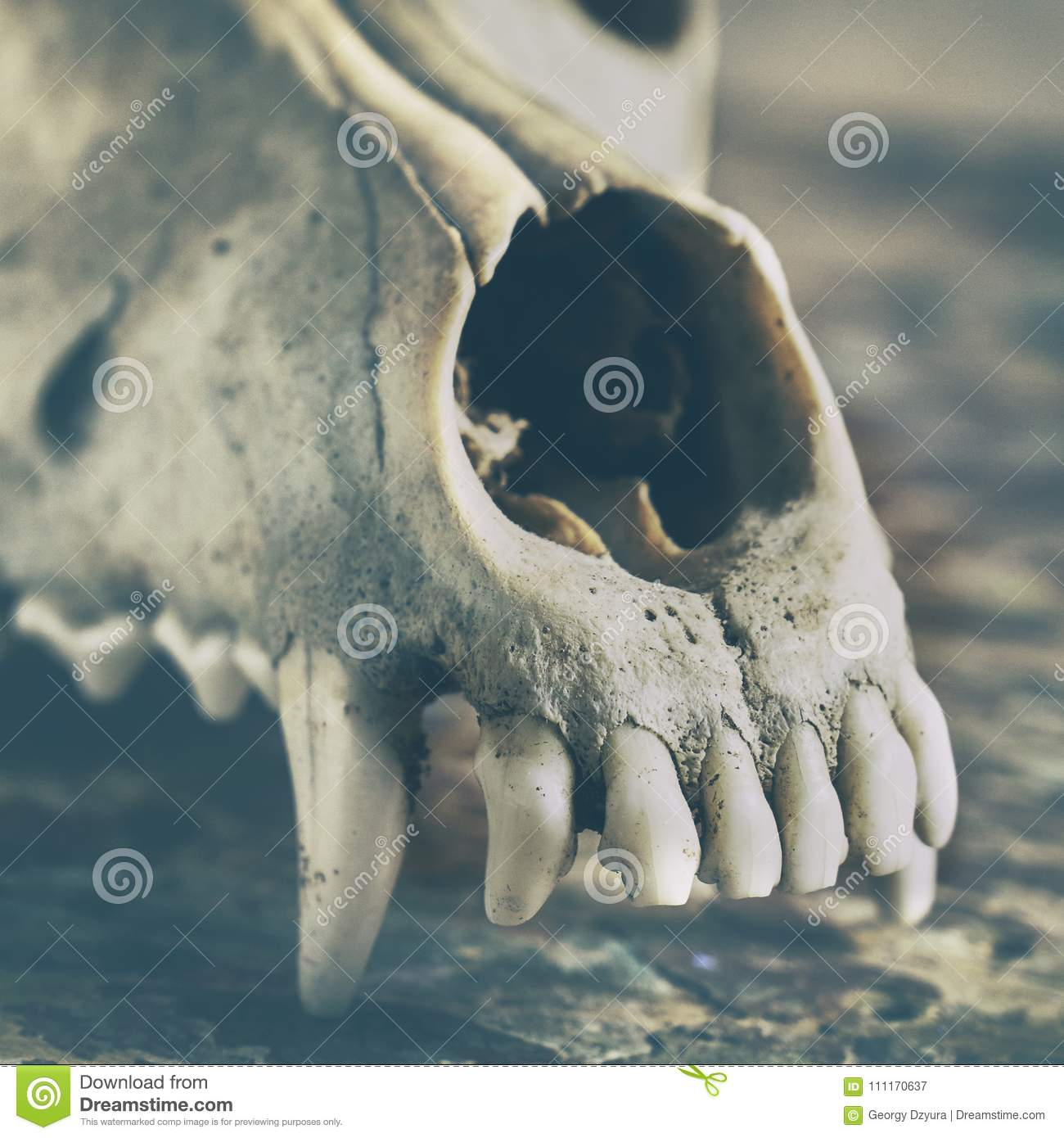 Dog scull without lower jaw