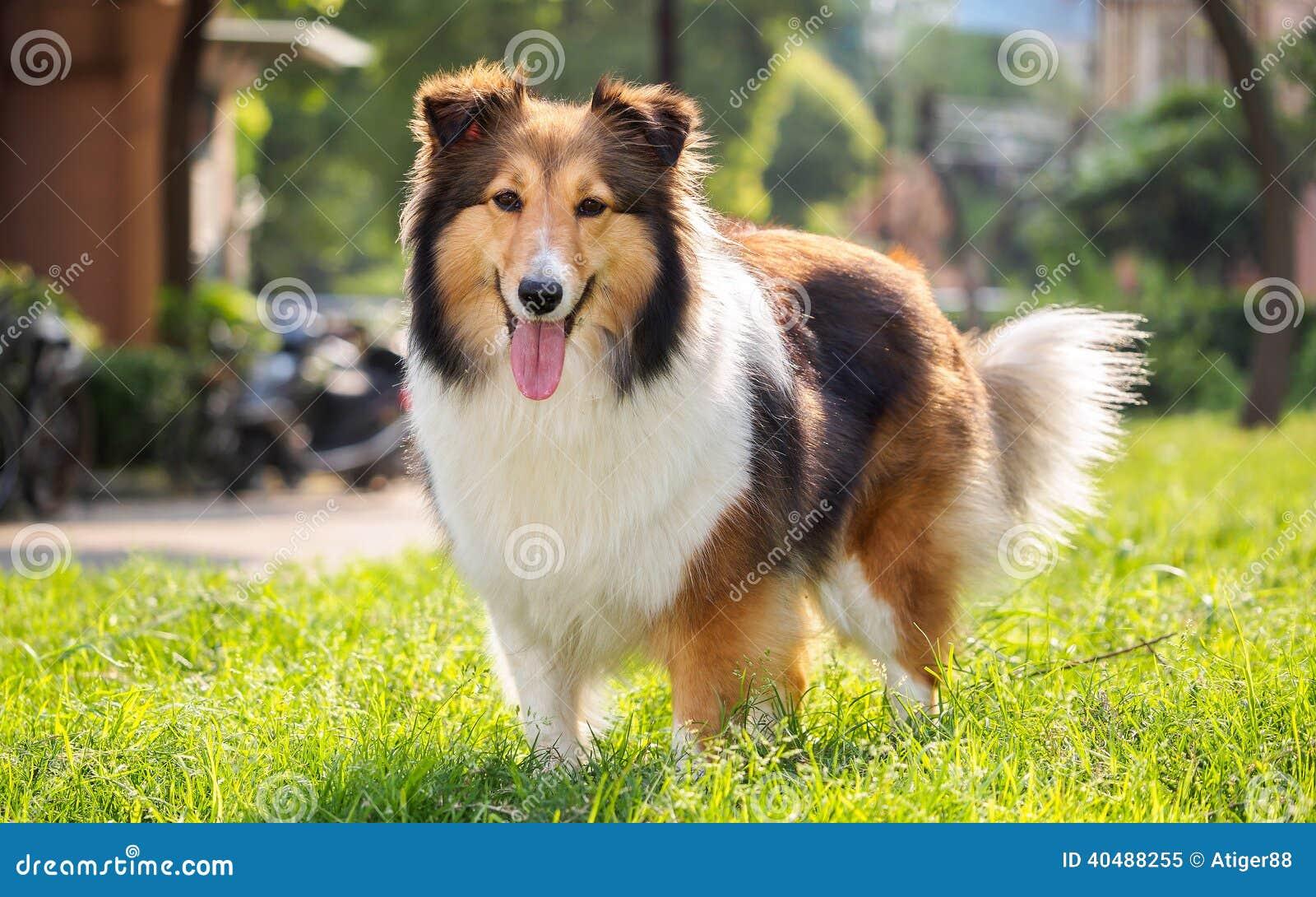 dog shetland sheepdog collie sheltie stock image image of