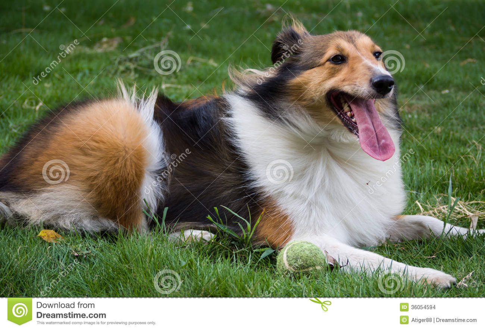 Dog Shetland Sheepdog Stock Images Image 36054594