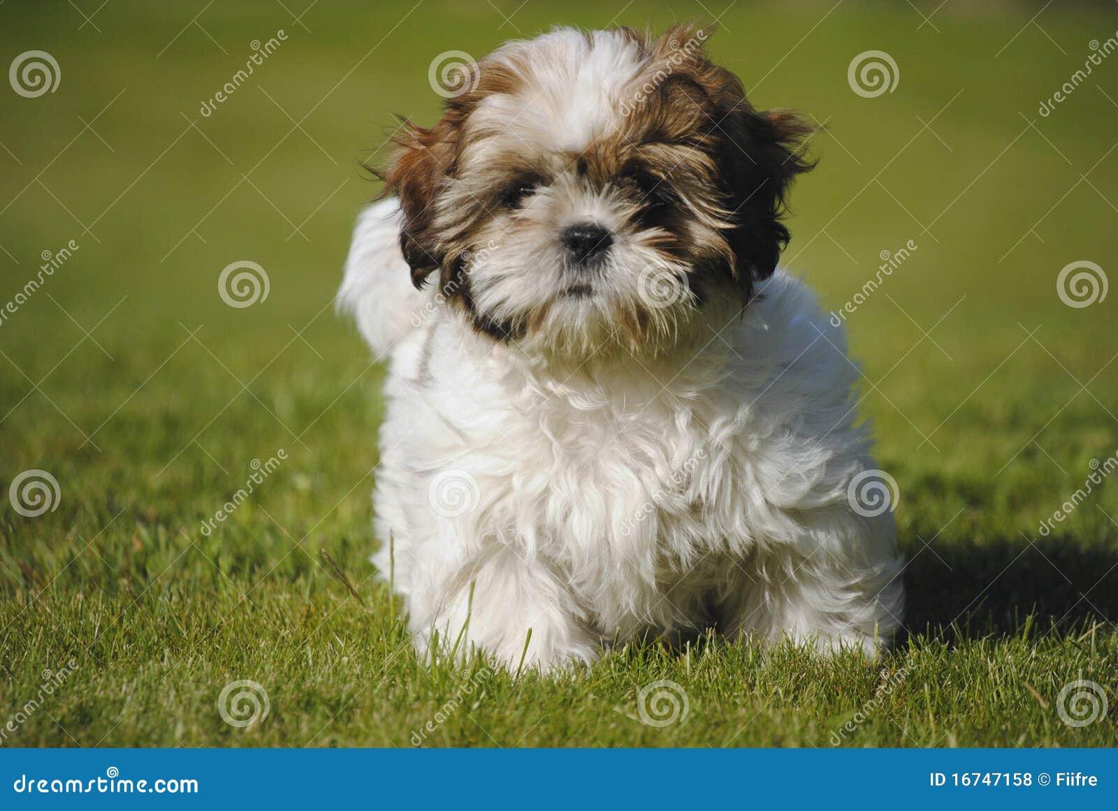 Dog Shi-Tzu Royalty Free Stock Photos - Image: 16747158