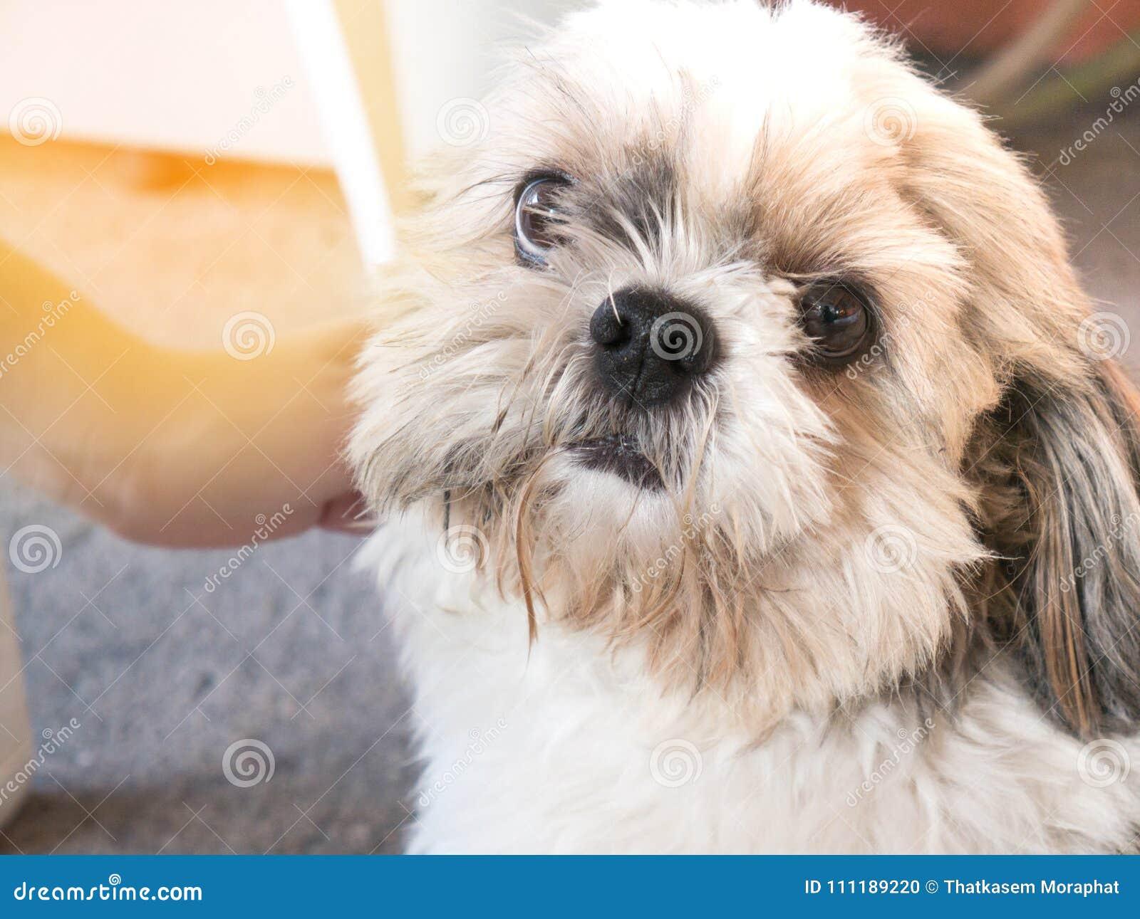 dog shi tzu