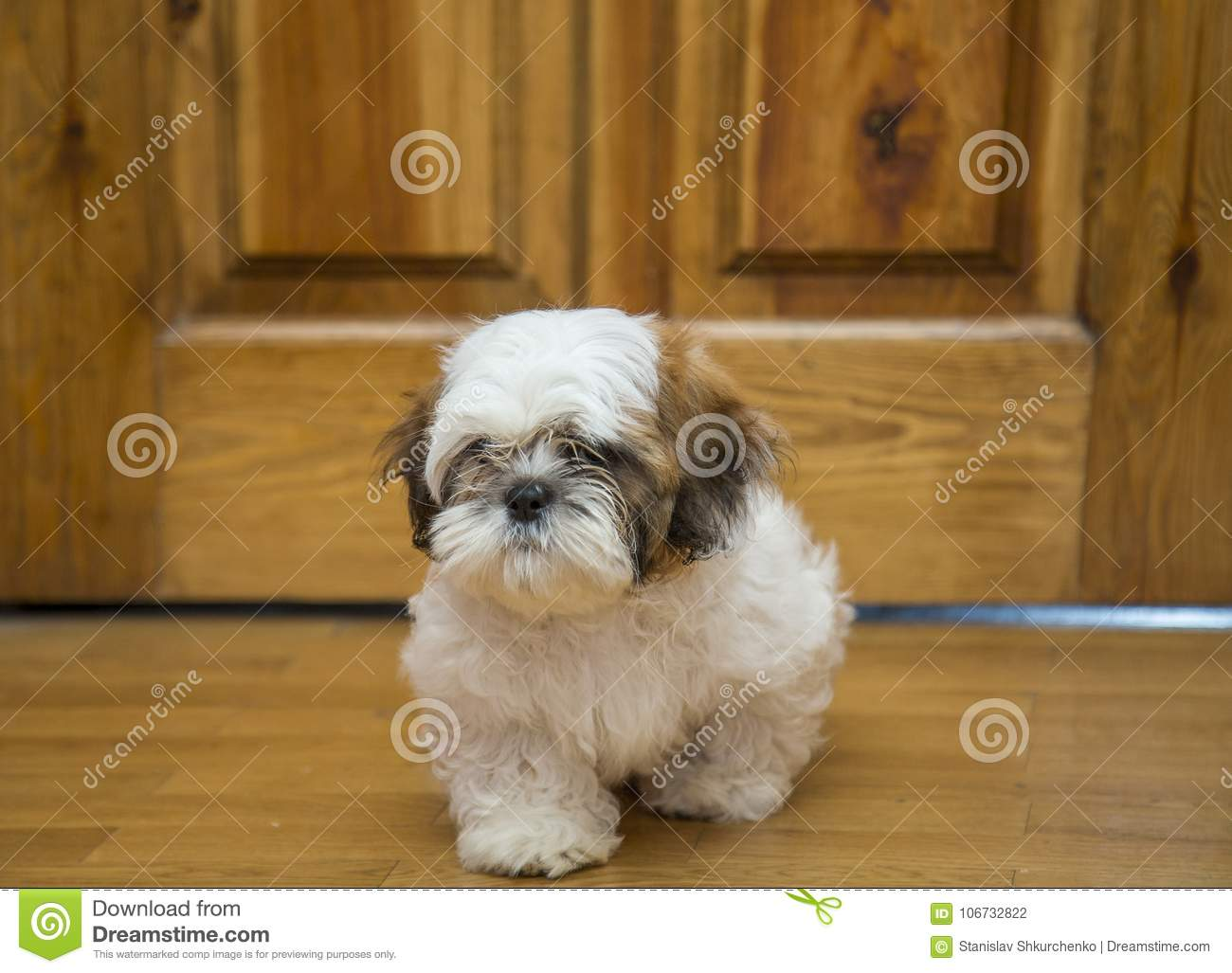 Shih Tzu Puppy Breed Tiny Dog Age 6 Month Playfulness Loveliness Stock Photo Image Of Purebred Young 106732822