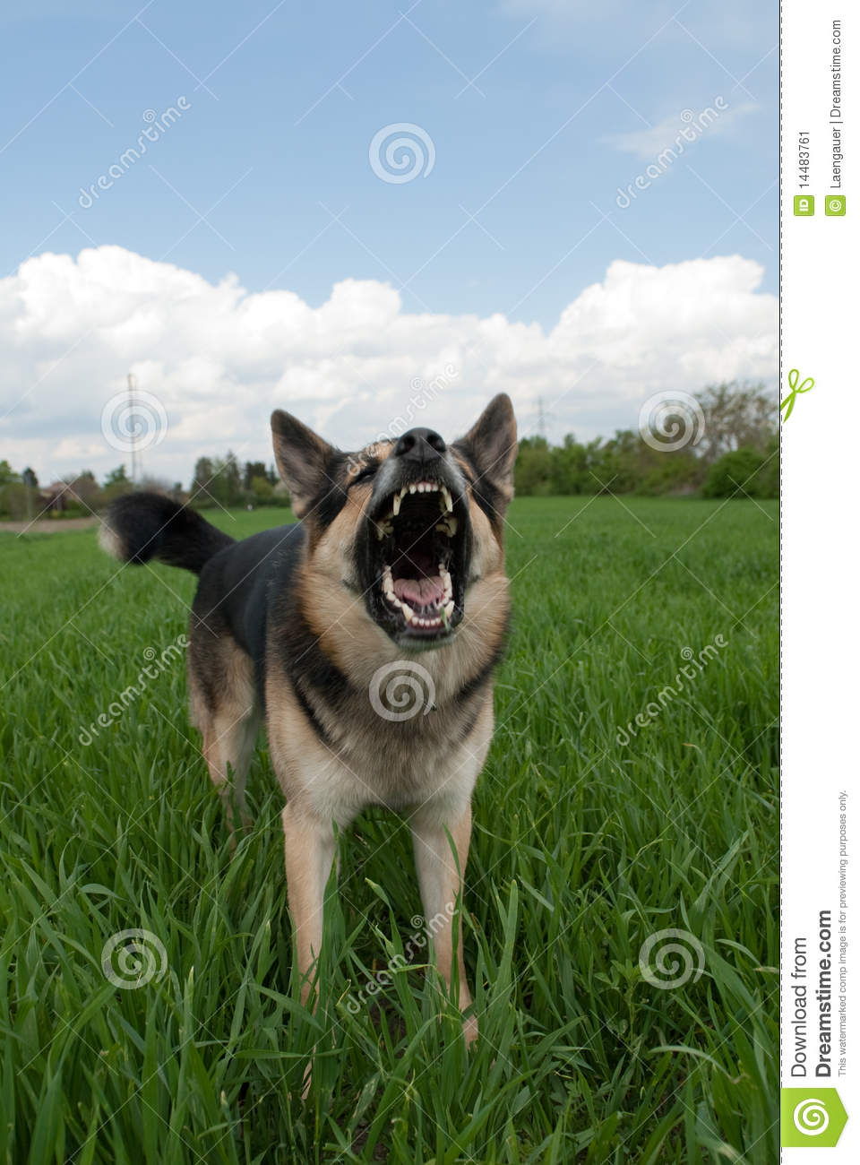 Dog Showing Teeth Stock Image Image 14483761