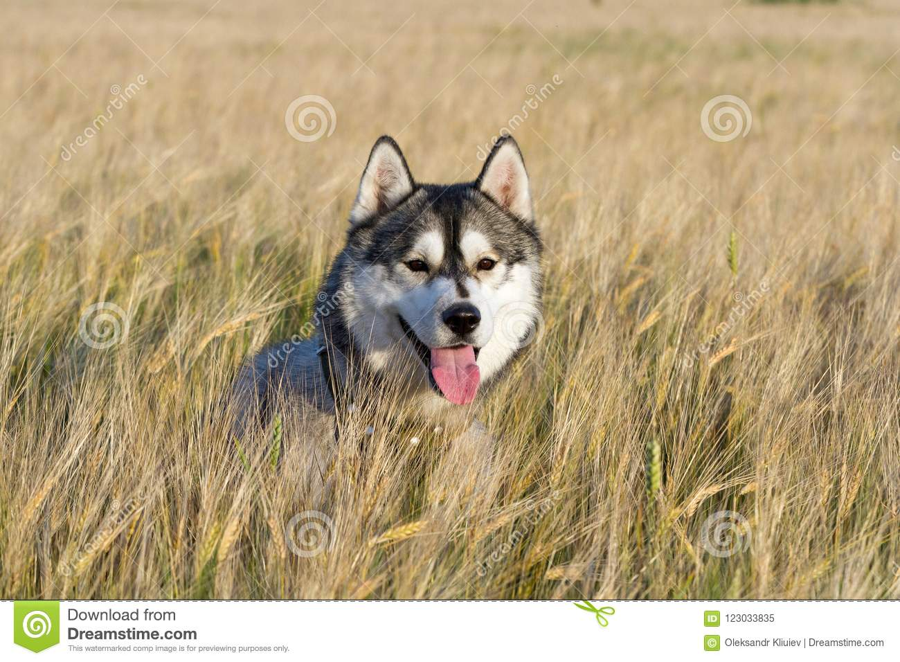A Dog Of The Siberian Husky Breed Of Black And White Color Stock