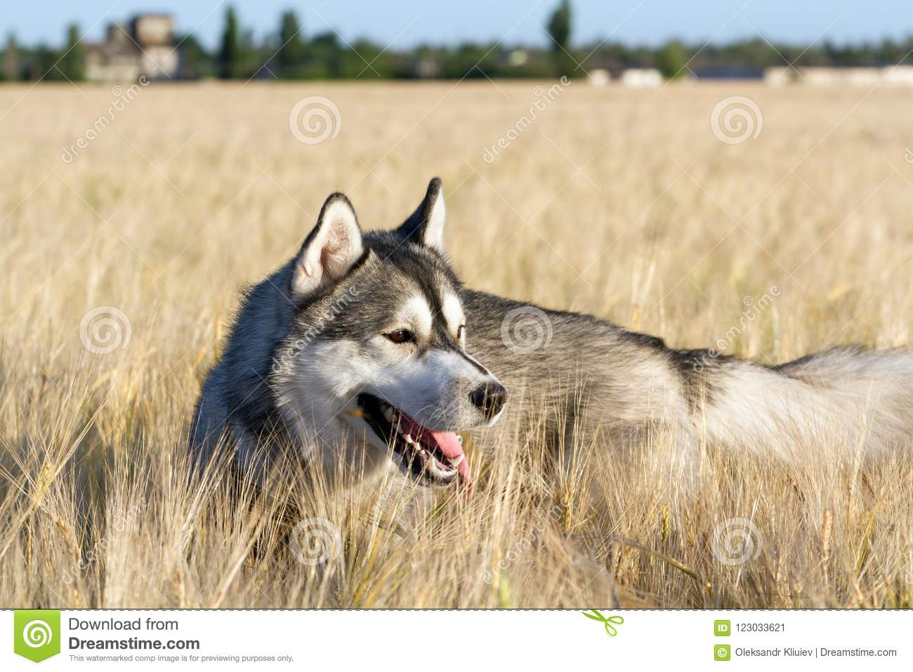 A Dog Of The Siberian Husky Breed Of Black And White Color