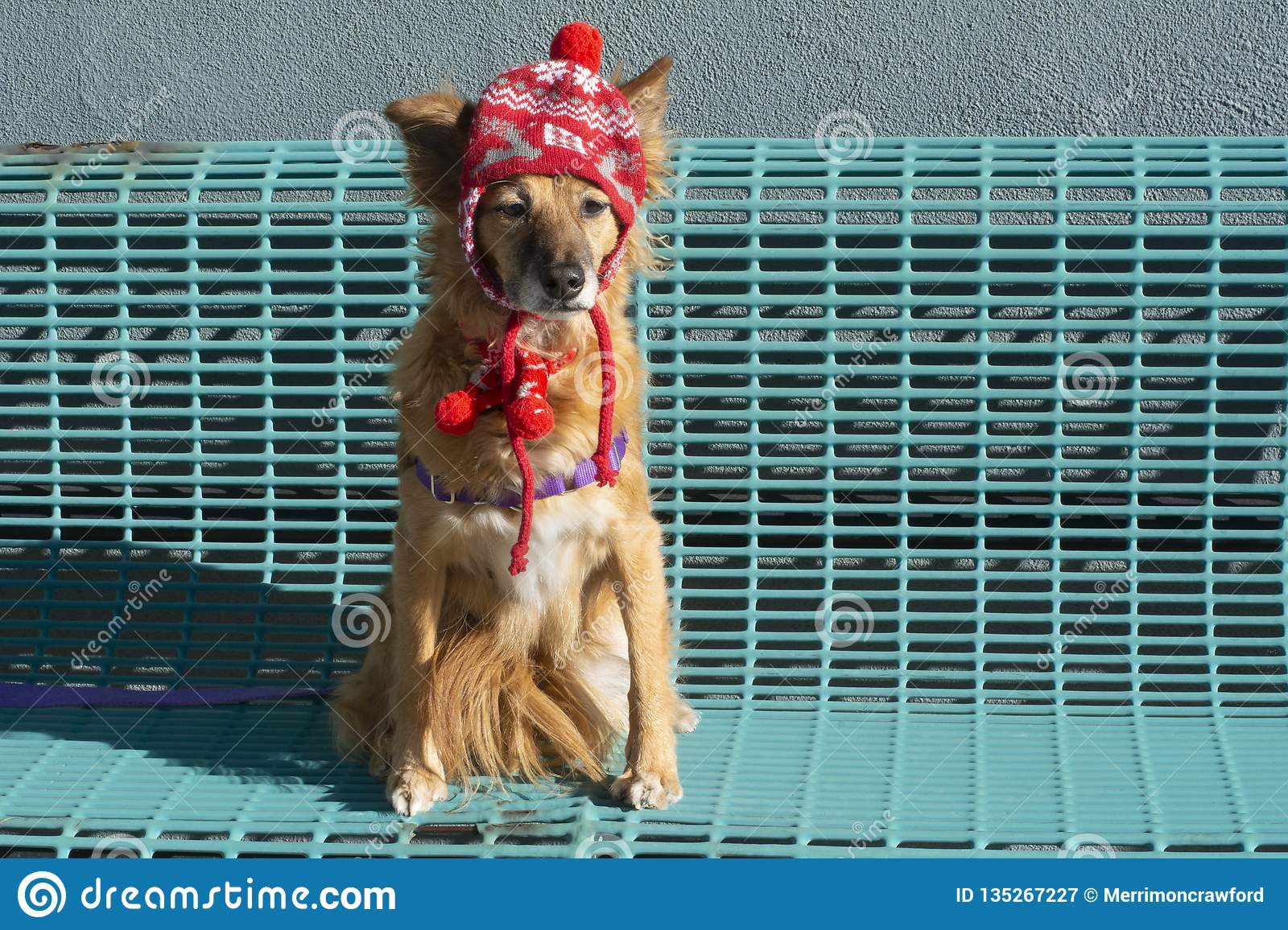 c3e45d75 Dog Sitting On Bench In Winter Hat And Scarf Stock Image - Image of ...