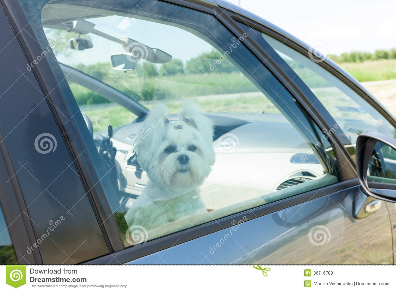 Small Car Windows : Dog sitting in a car royalty free stock images image