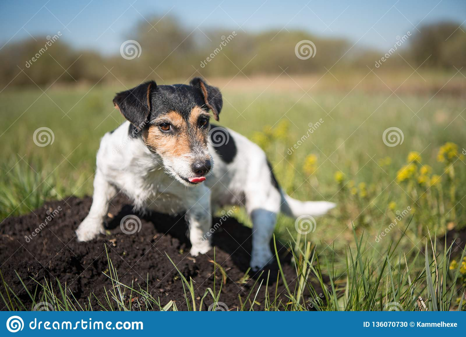 Dog is sitting on a molehill - Jack Russell Terrier 7 years ol