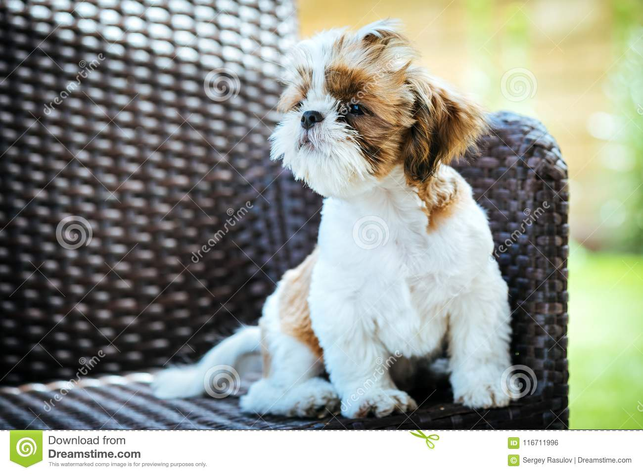 Fabulous Dog Sitting Outdoor And Posing On Wicker Chair Stock Photo Interior Design Ideas Tzicisoteloinfo