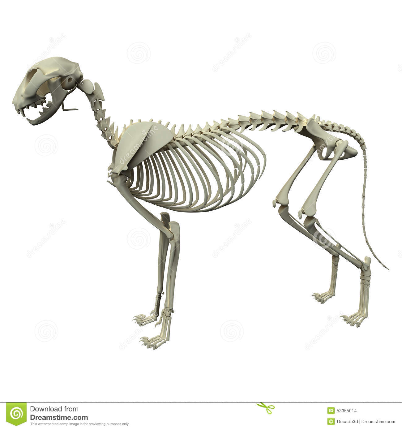 Dog Skeleton Anatomy - Anatomy Of A Male Dog Skeleton Stock Photo ...