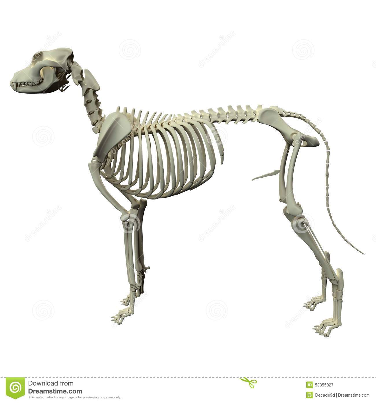 Dog Skeleton Anatomy - Anatomy Of A Male Dog Skeleton Stock Image ...