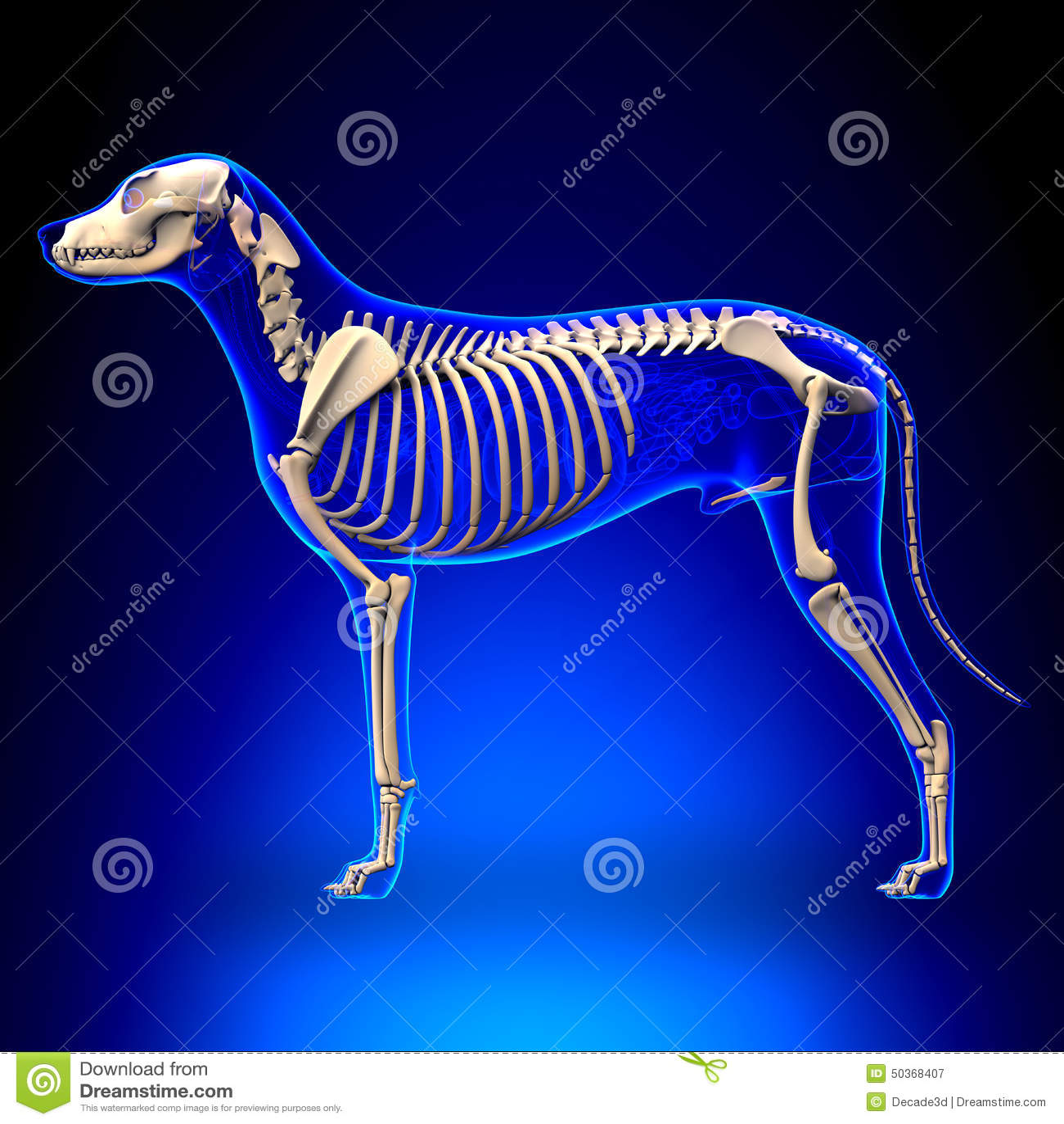 Dog Skeleton - Canis Lupus Familiaris Anatomy - Side View Stock ...