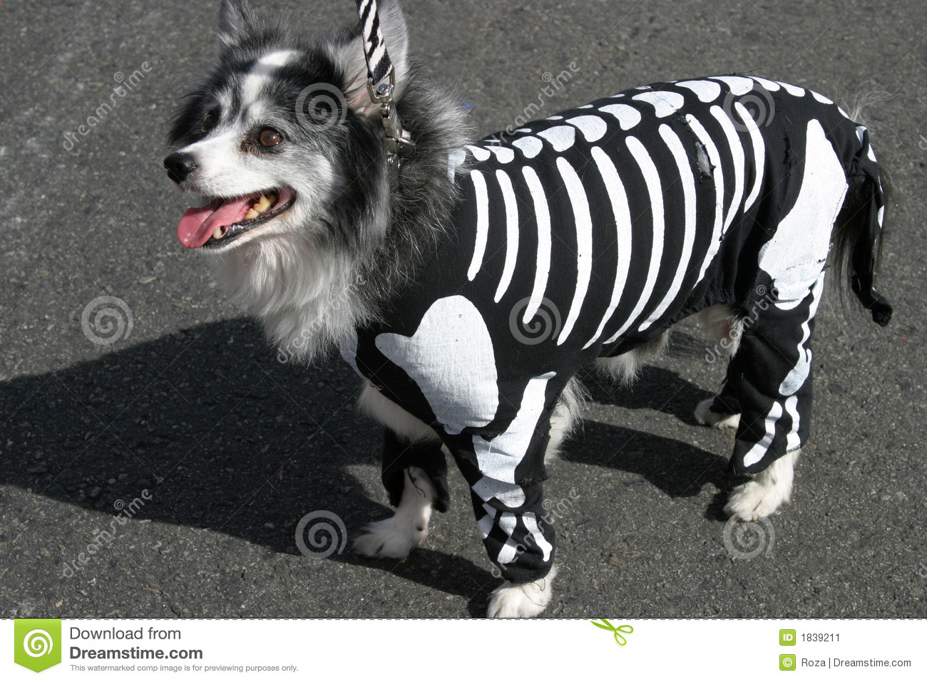 Small dog in skeleton costume costume on Halloween.