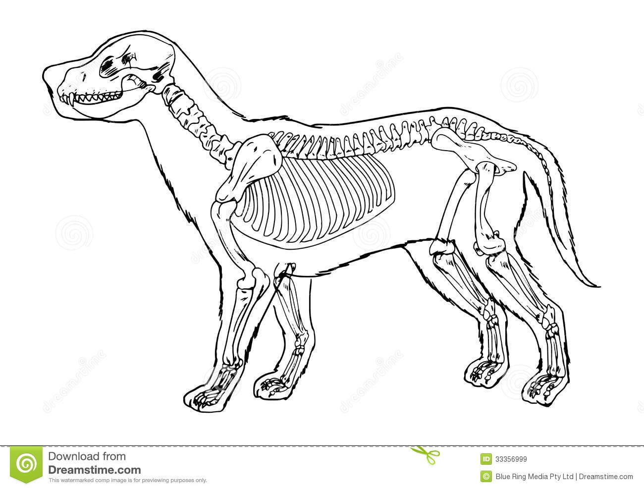 Outstanding Skeletal System Of A Dog Collection - Human Anatomy ...