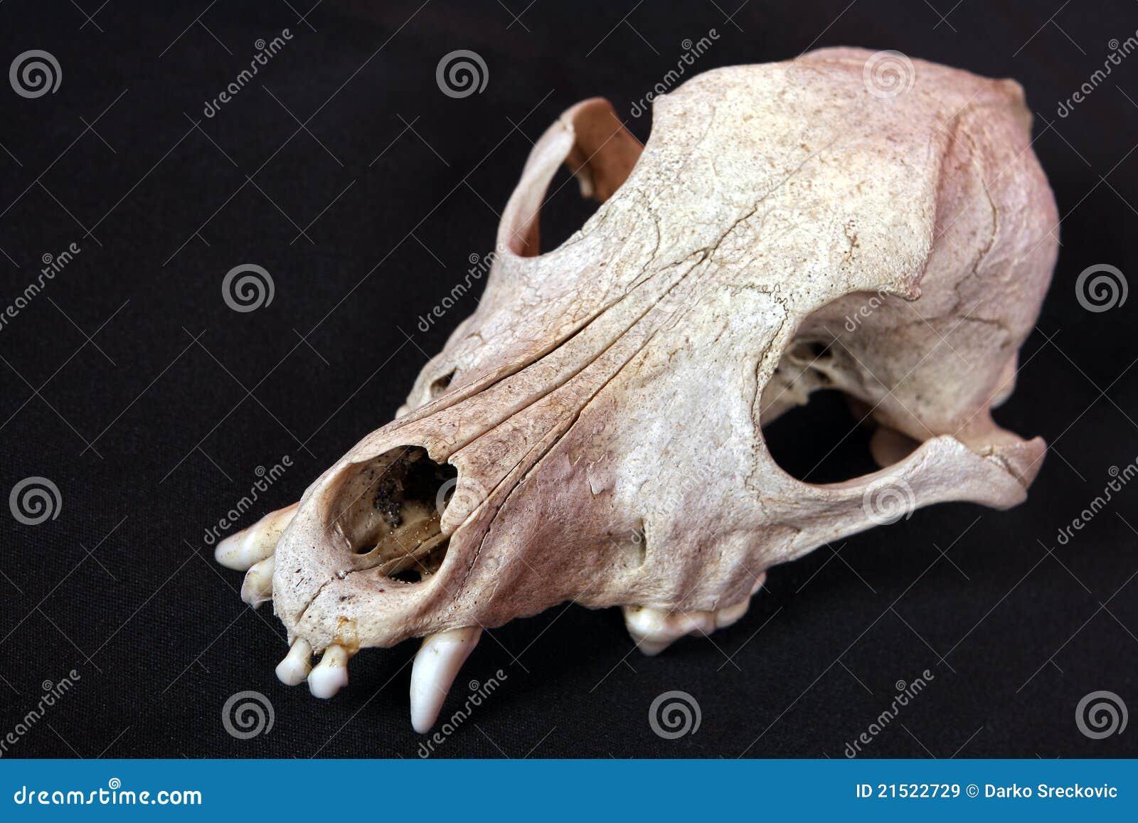 Dog skull stock image. Image of anatomy, tooth, bone - 21522729