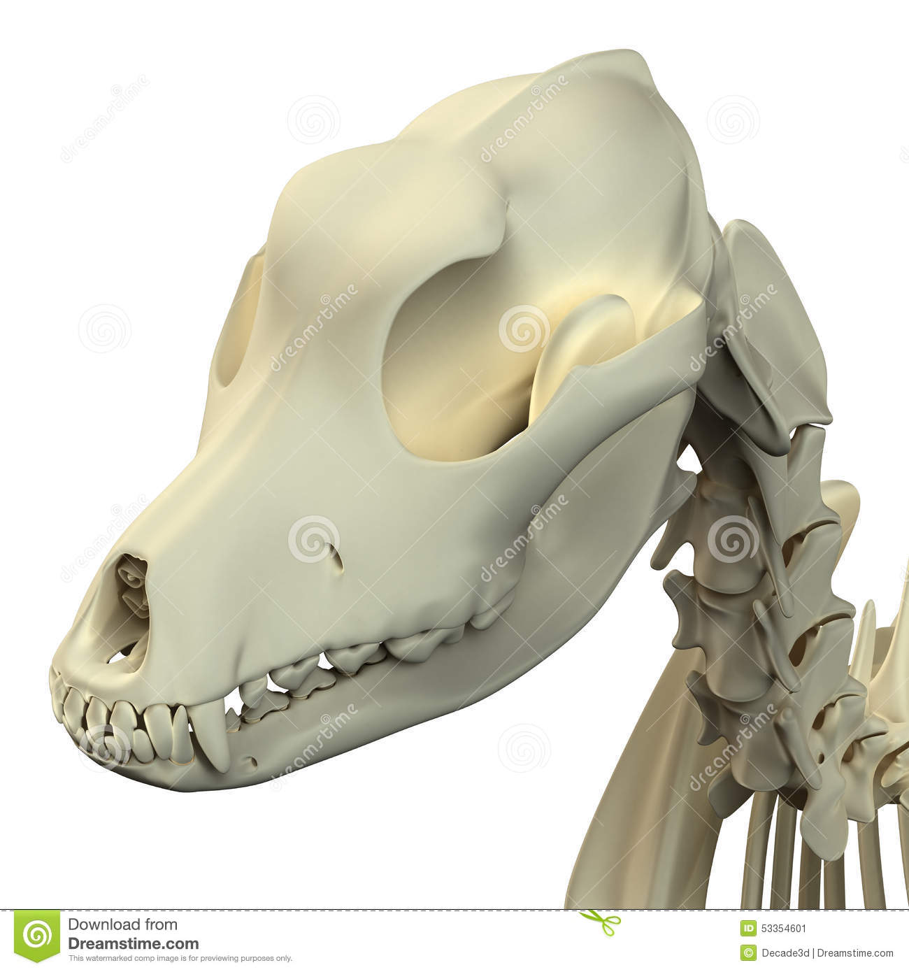 Dog Skull Anatomy - Anatomy Of A Male Dog Skull Stock Image - Image ...