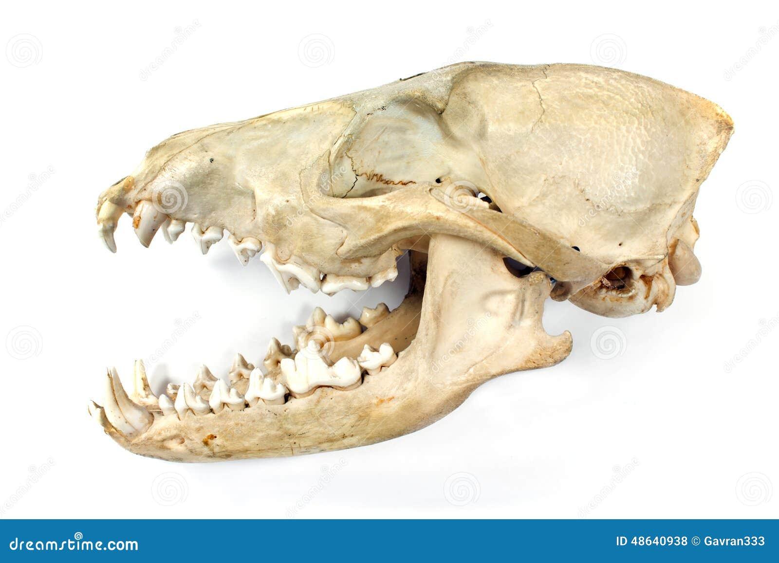 Canine jaw anatomy 766225 - follow4more.info
