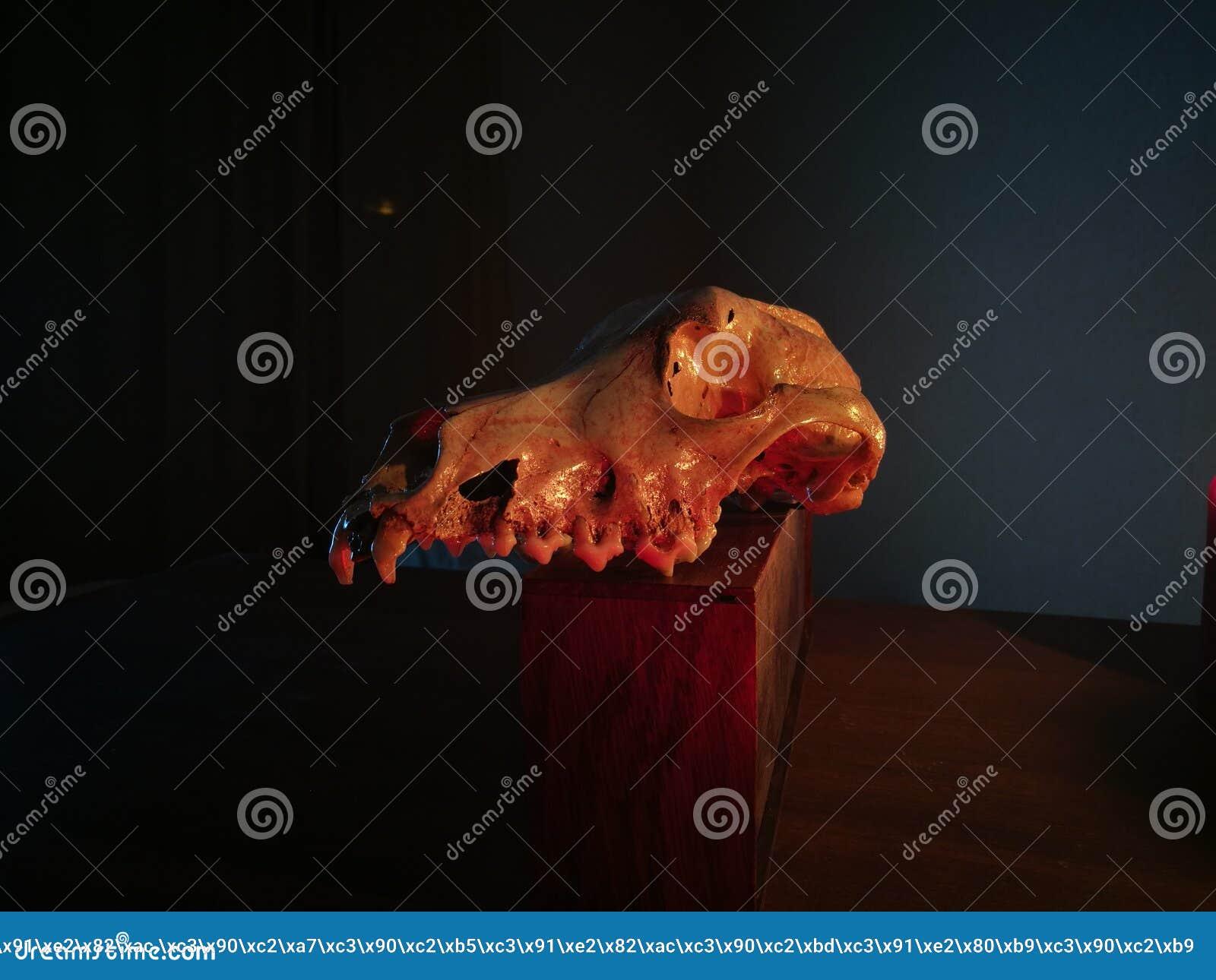 Dog Skull Stock Image Image Of Object Skull Anatomy 123264981