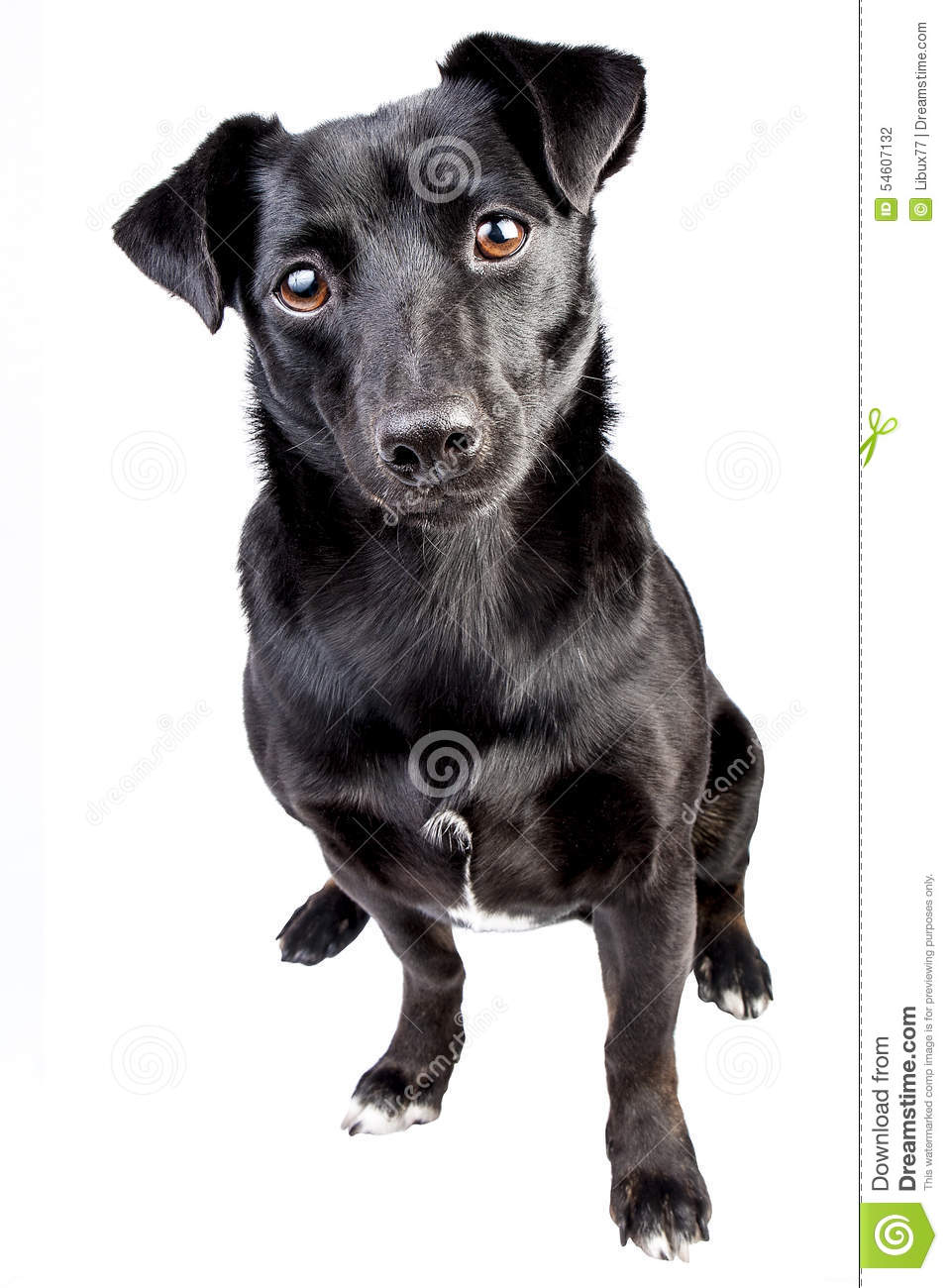Dog Small Black Looking Portrait Isolated
