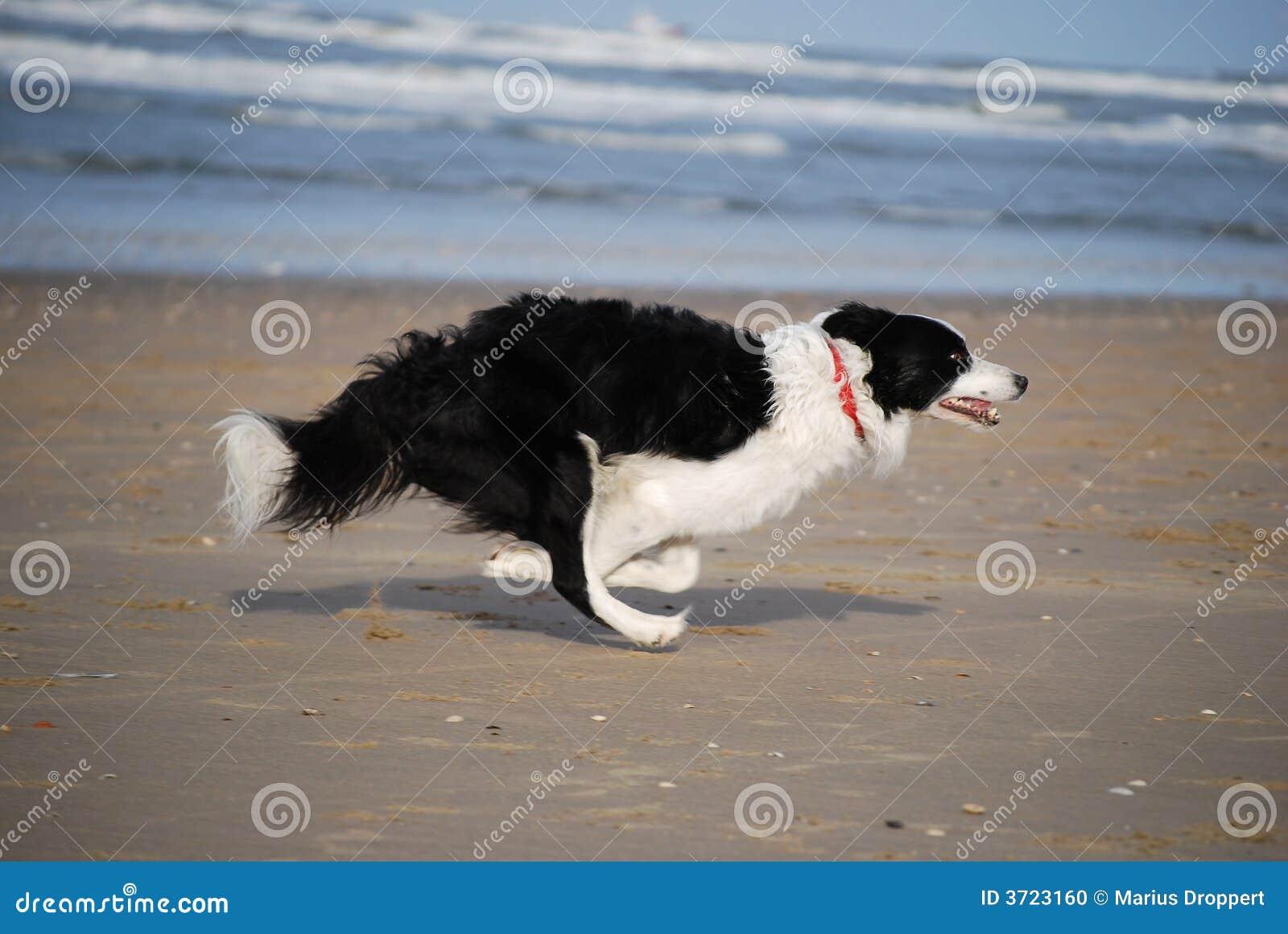 Dog snabb running
