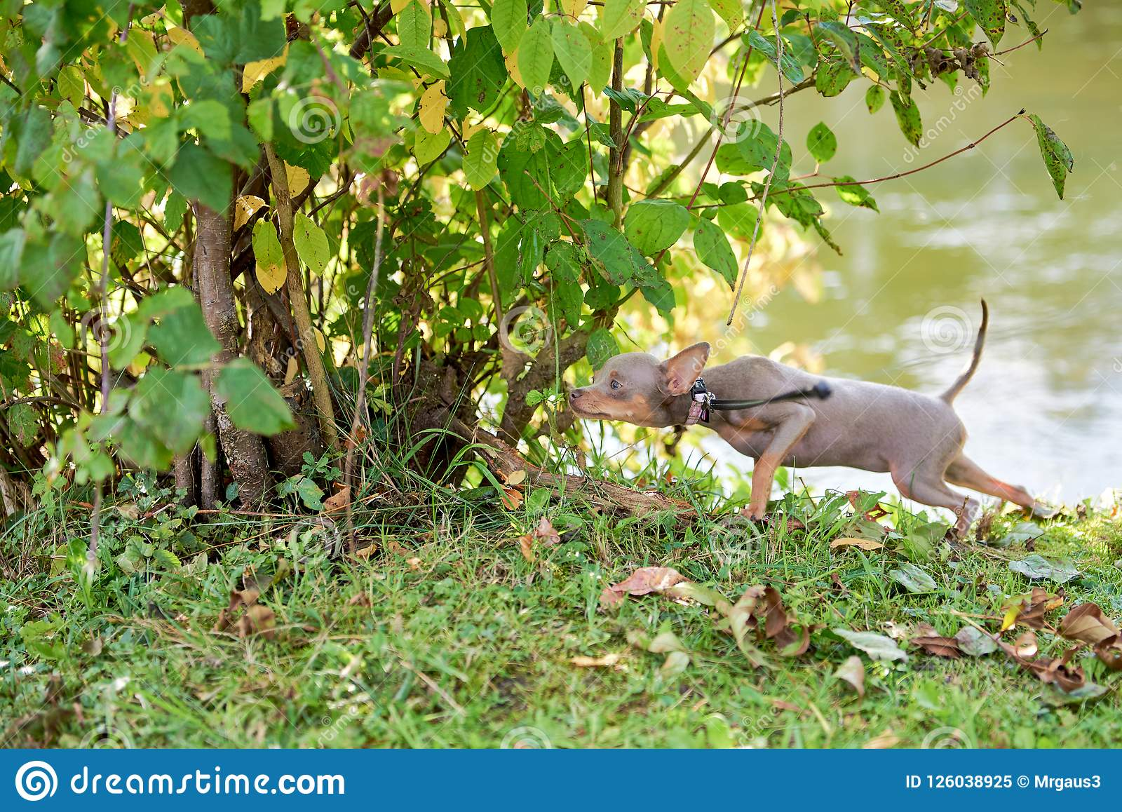 The dog sniffs and sneaks in the bushes. Russian Toy Terrier, Russkiy Toy