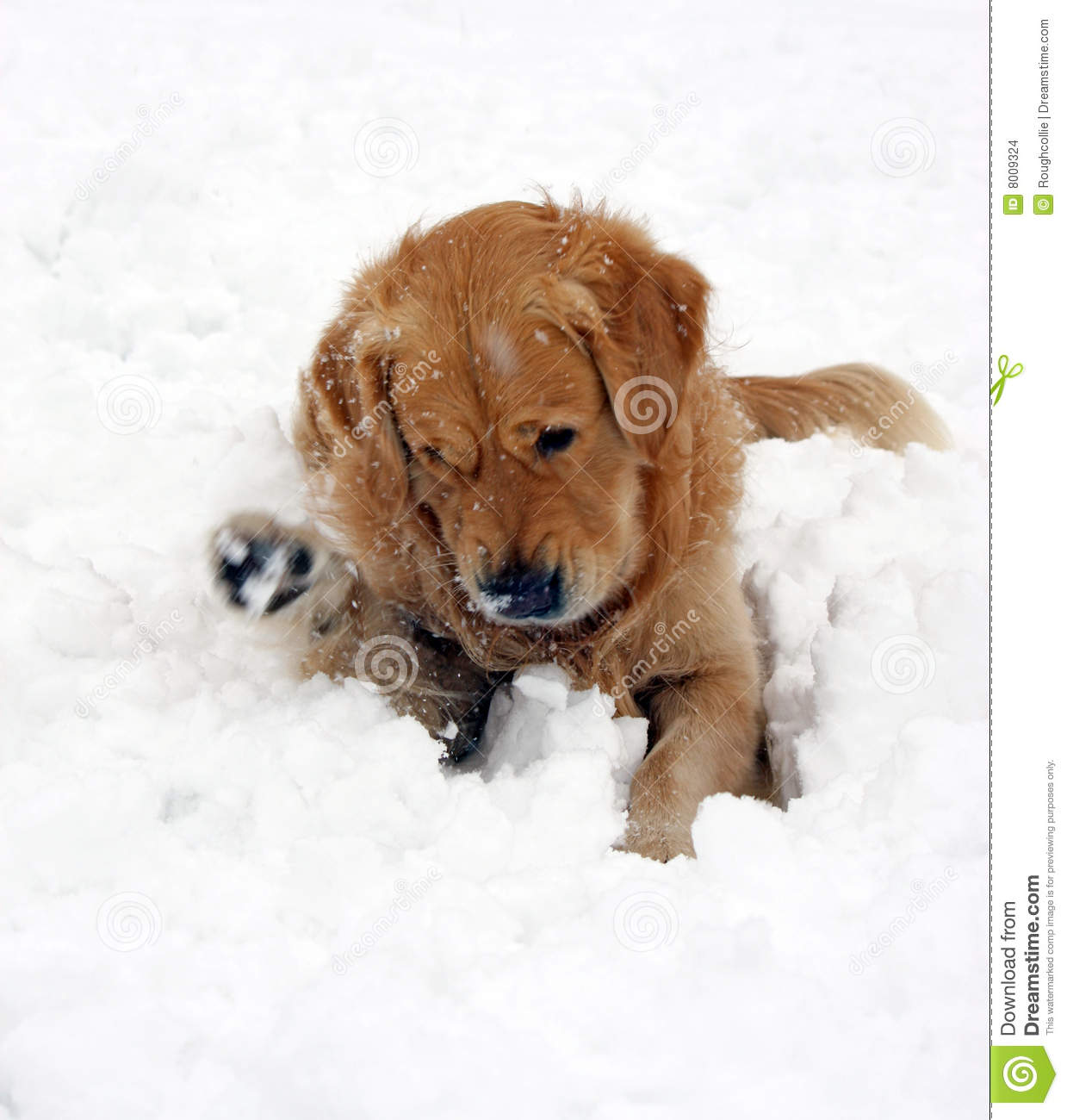Dog In Snow Playing Stock Images - Image: 8009324