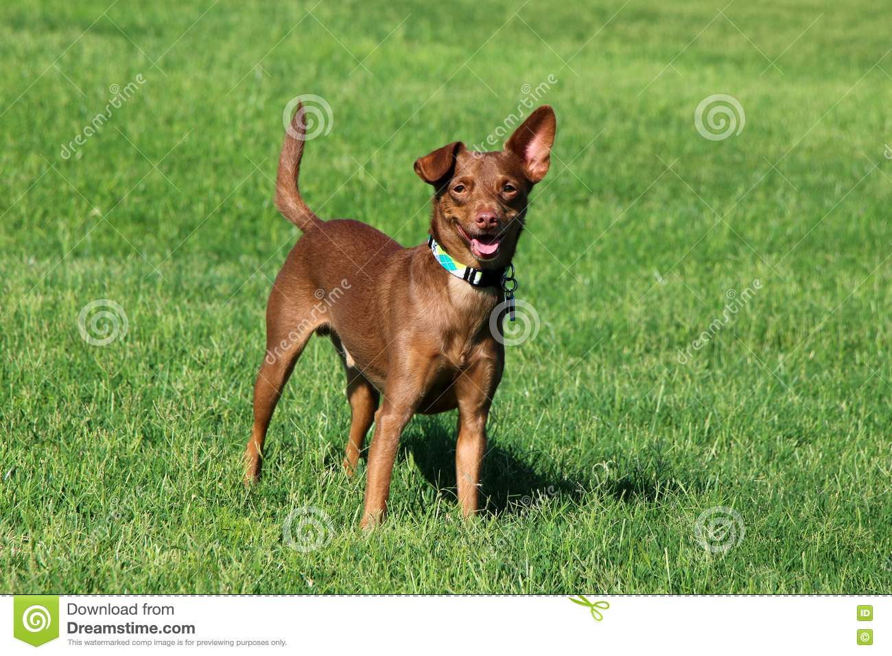 Dog Standing in the Grass
