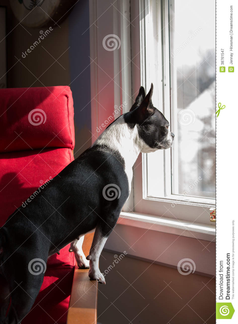 Dog standing looking out window