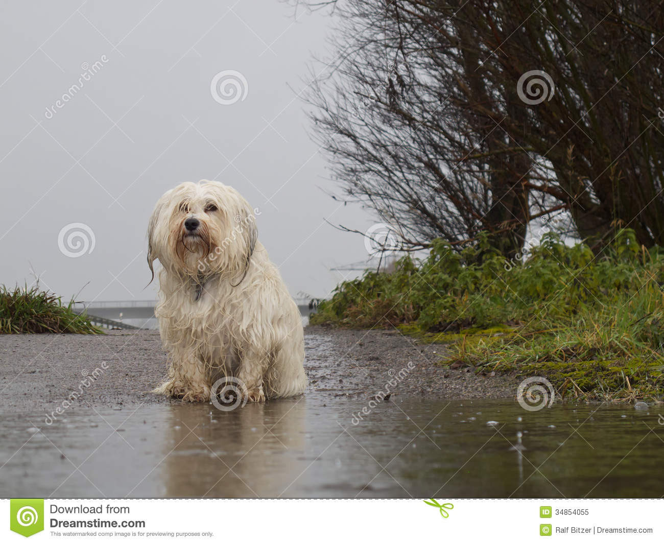 Dog Standing In The Rain Stock Image Image Of Bichon