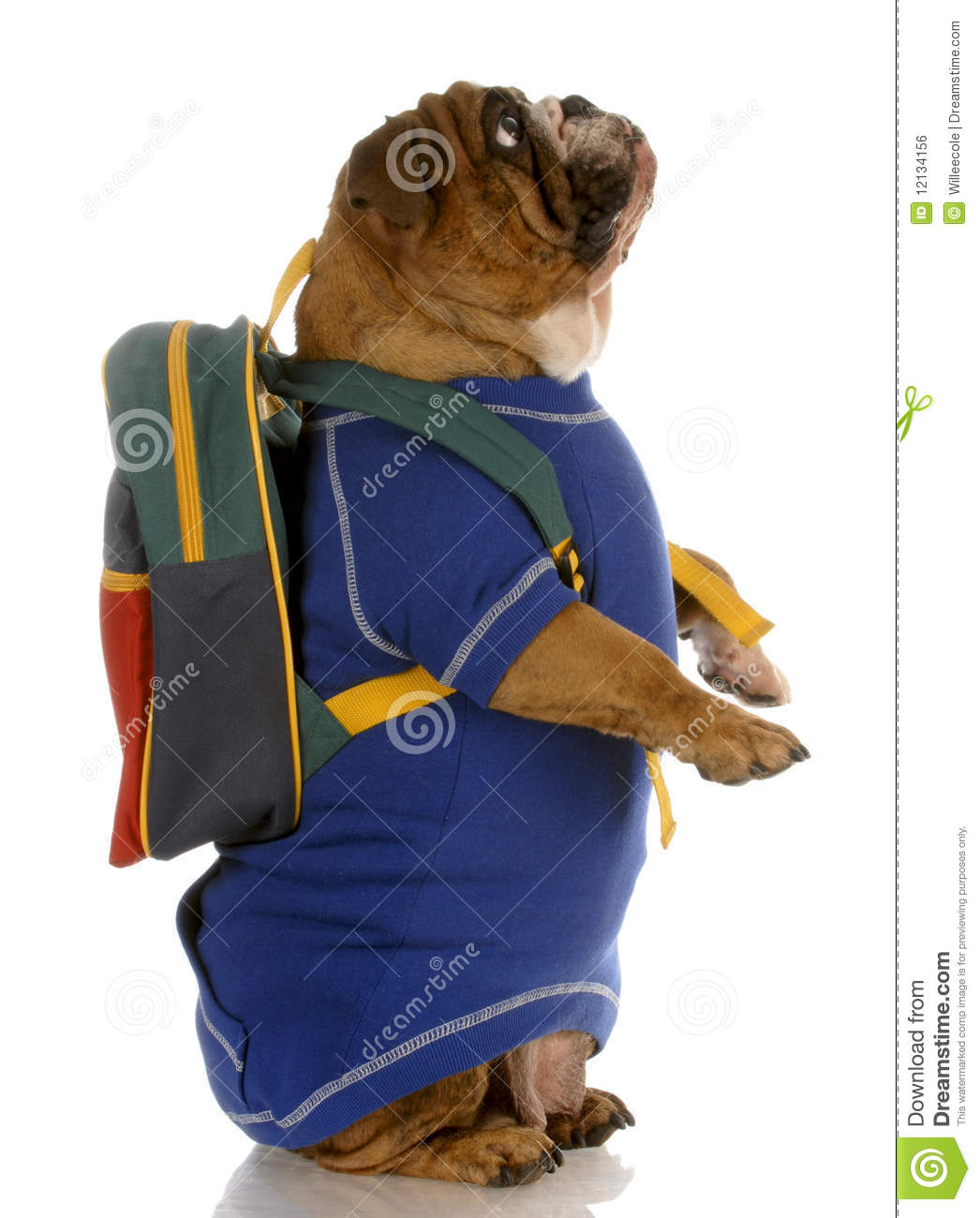English bulldog standing up wearing blue sweater and backpack.