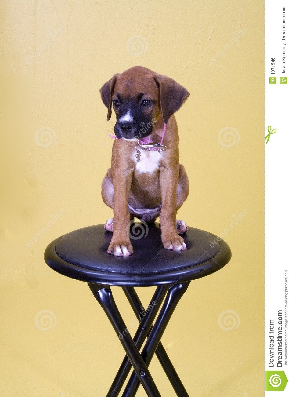 Dog On Stool Royalty Free Stock Image Image 1071546