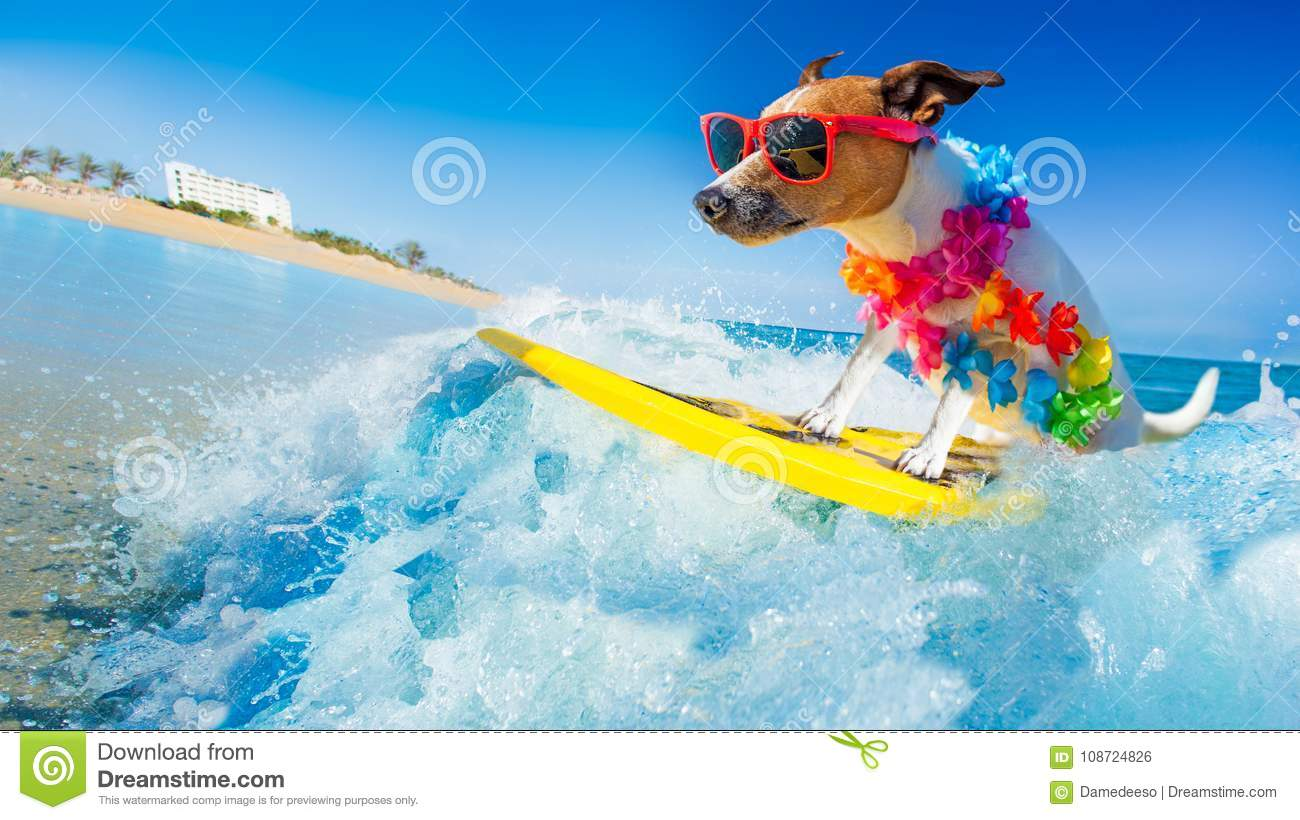 Download Dog surfing on a wave stock photo. Image of humor, hawaiian - 108724826