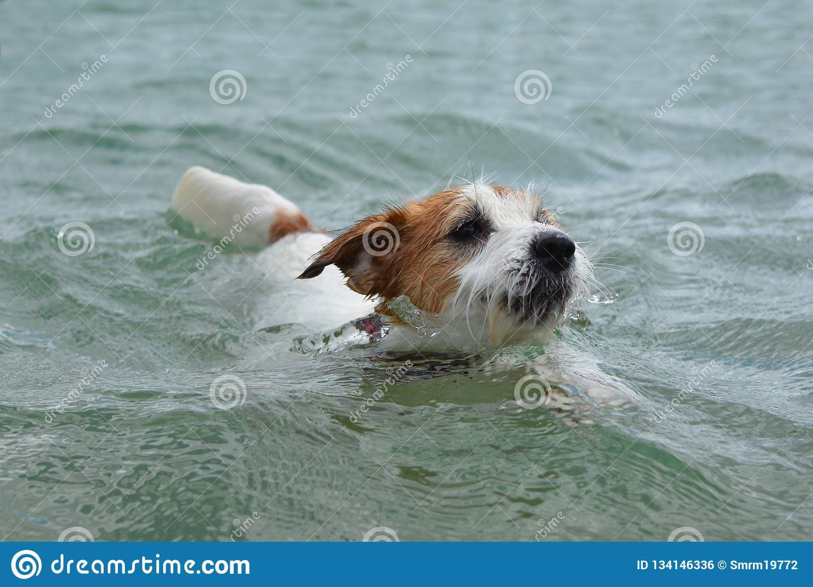 DOG SWIMMING. CUTE JACK RUSSELL PUPPY PLAYING ON WATER ENJOYING SUMMER