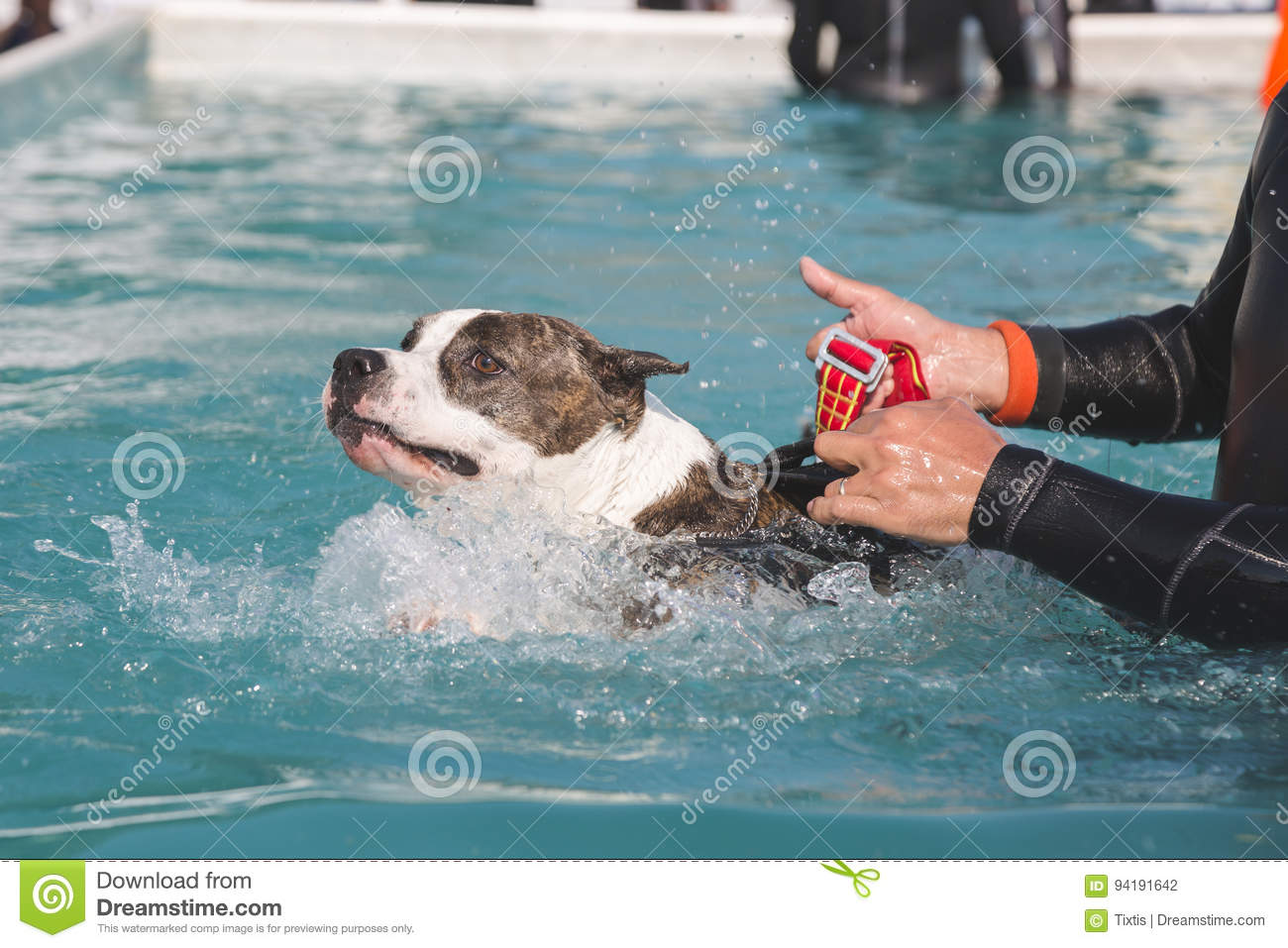 Dog in the swimming pool editorial photography  Image of