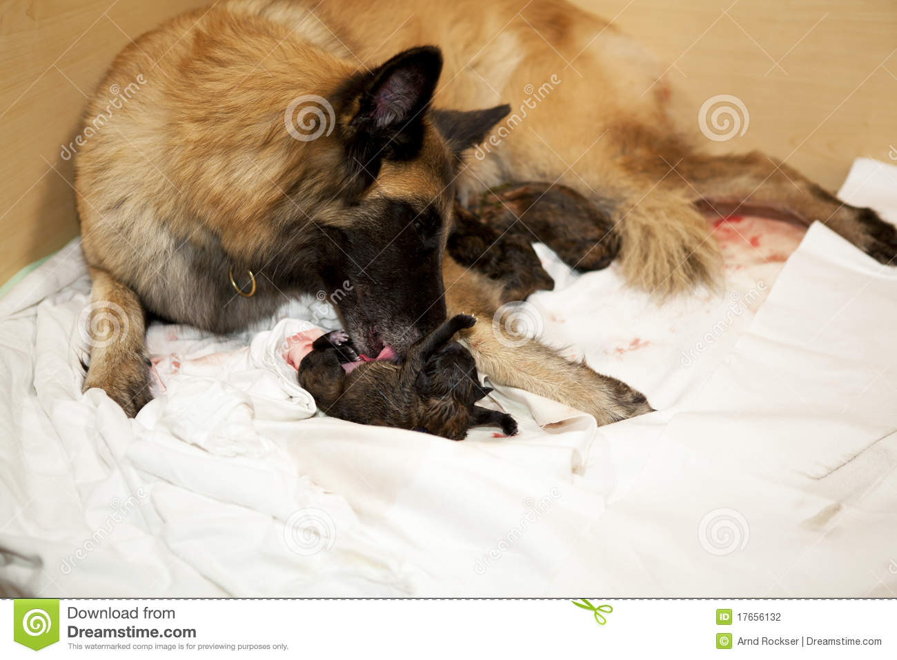 Dog Taking Care Of Newborn Puppy Stock Photography - Image: 17656132
