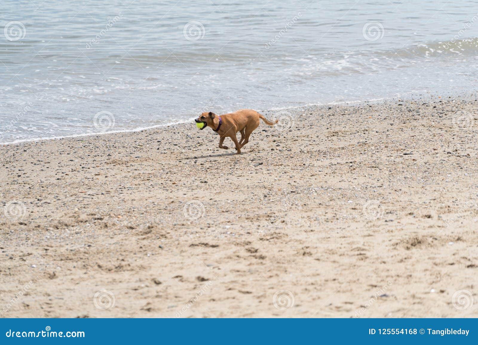 A dog with a tennis ball on the beach