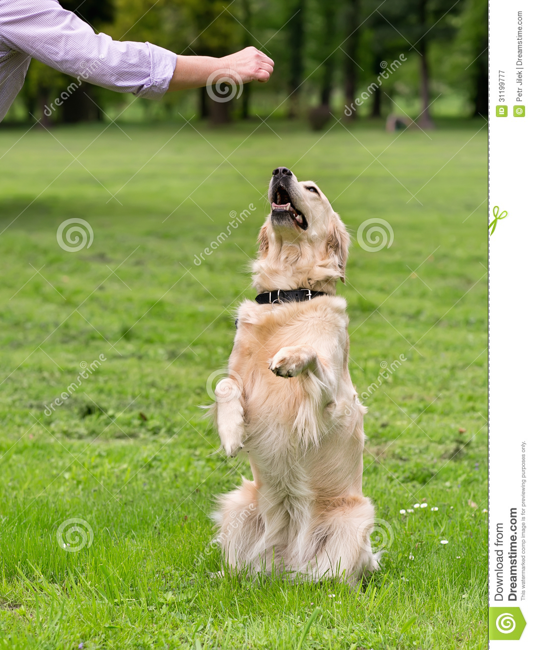 Dog In Training Royalty Free Stock Photography Image