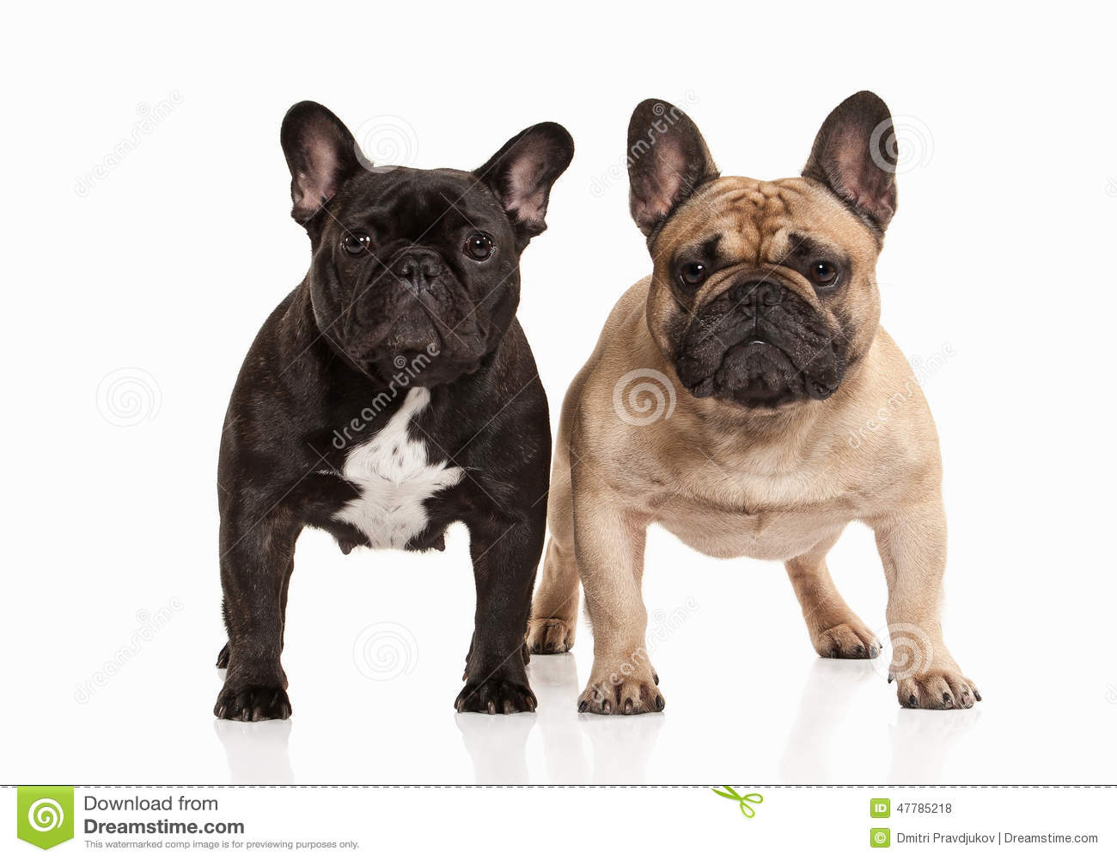 Dog. Two French Bulldo...